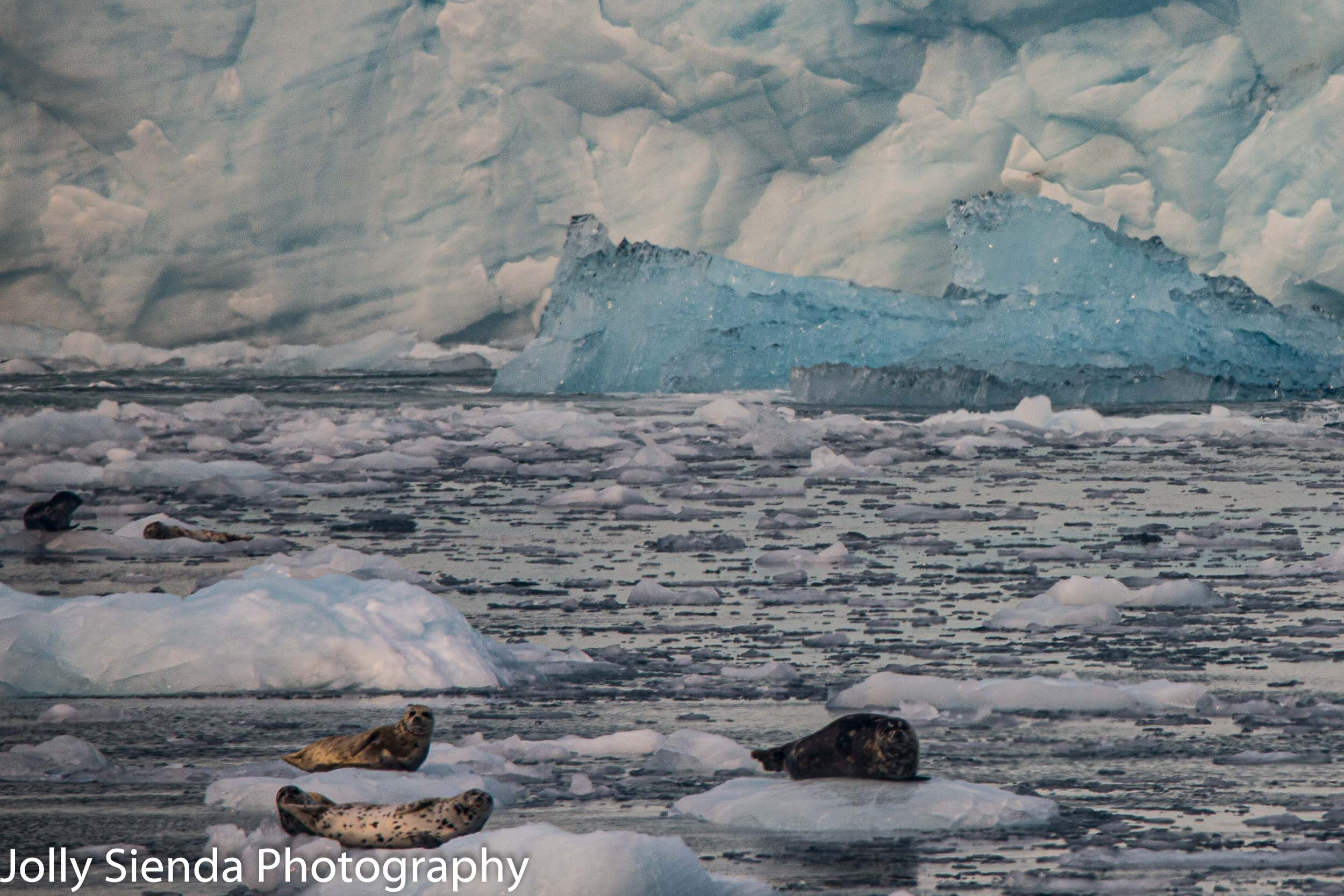 Seals hanging out on glacier ice along the Kenia Fjords and glacier