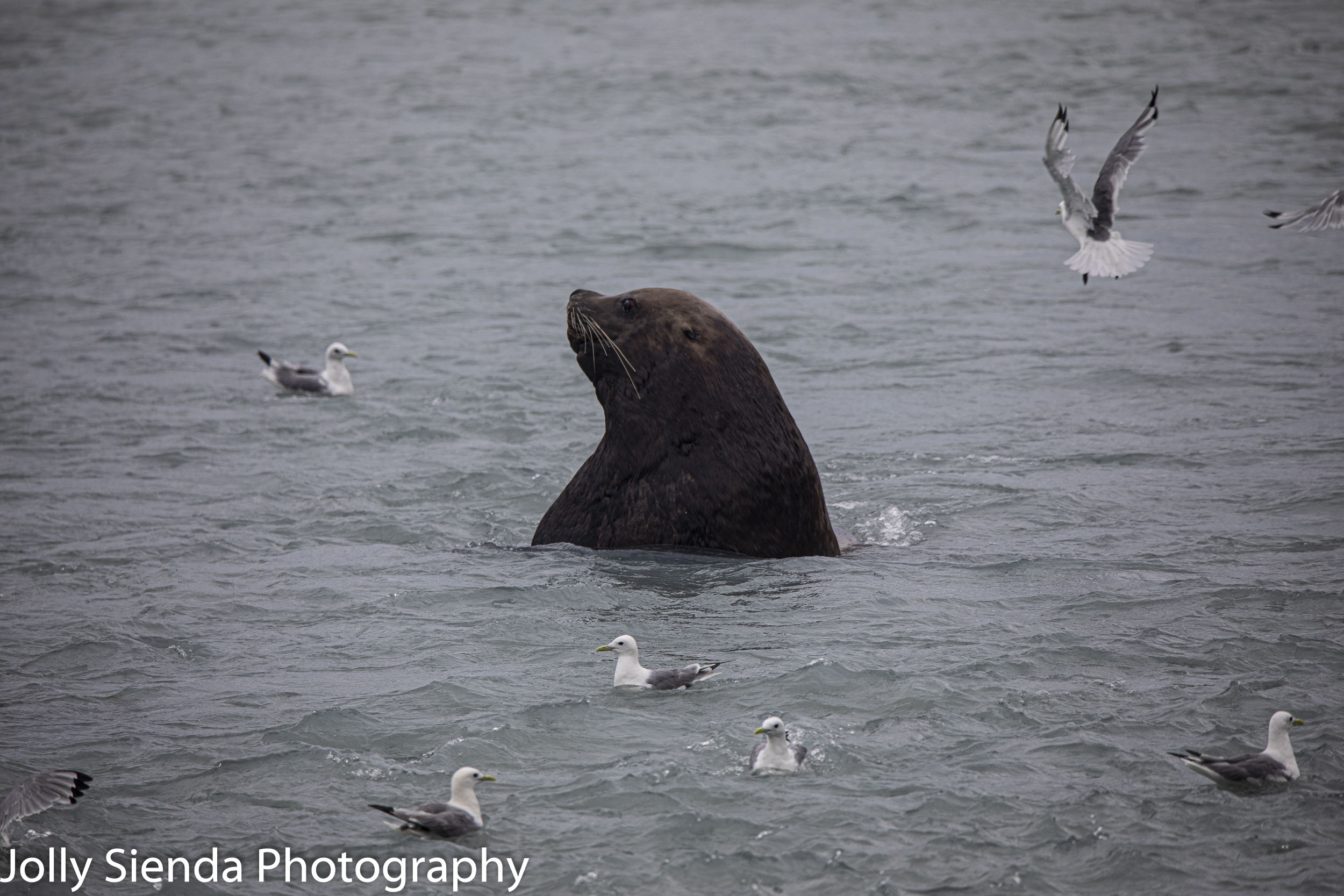 Sea Lion and seagulls