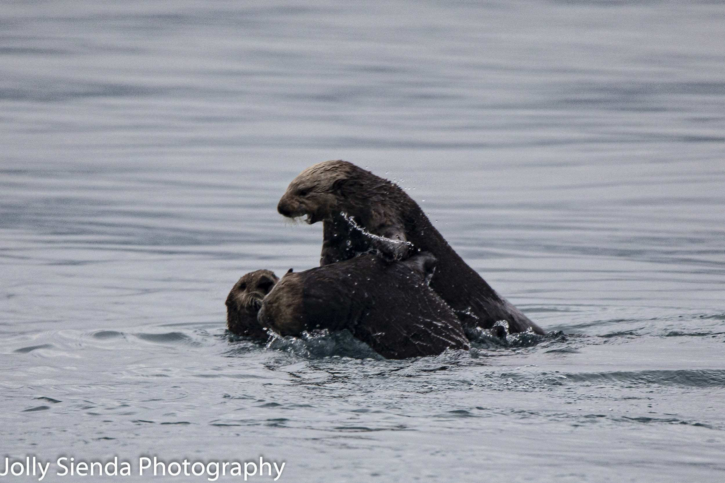 Sea Otters at play, Prince William Sound, Valdez, Alaska