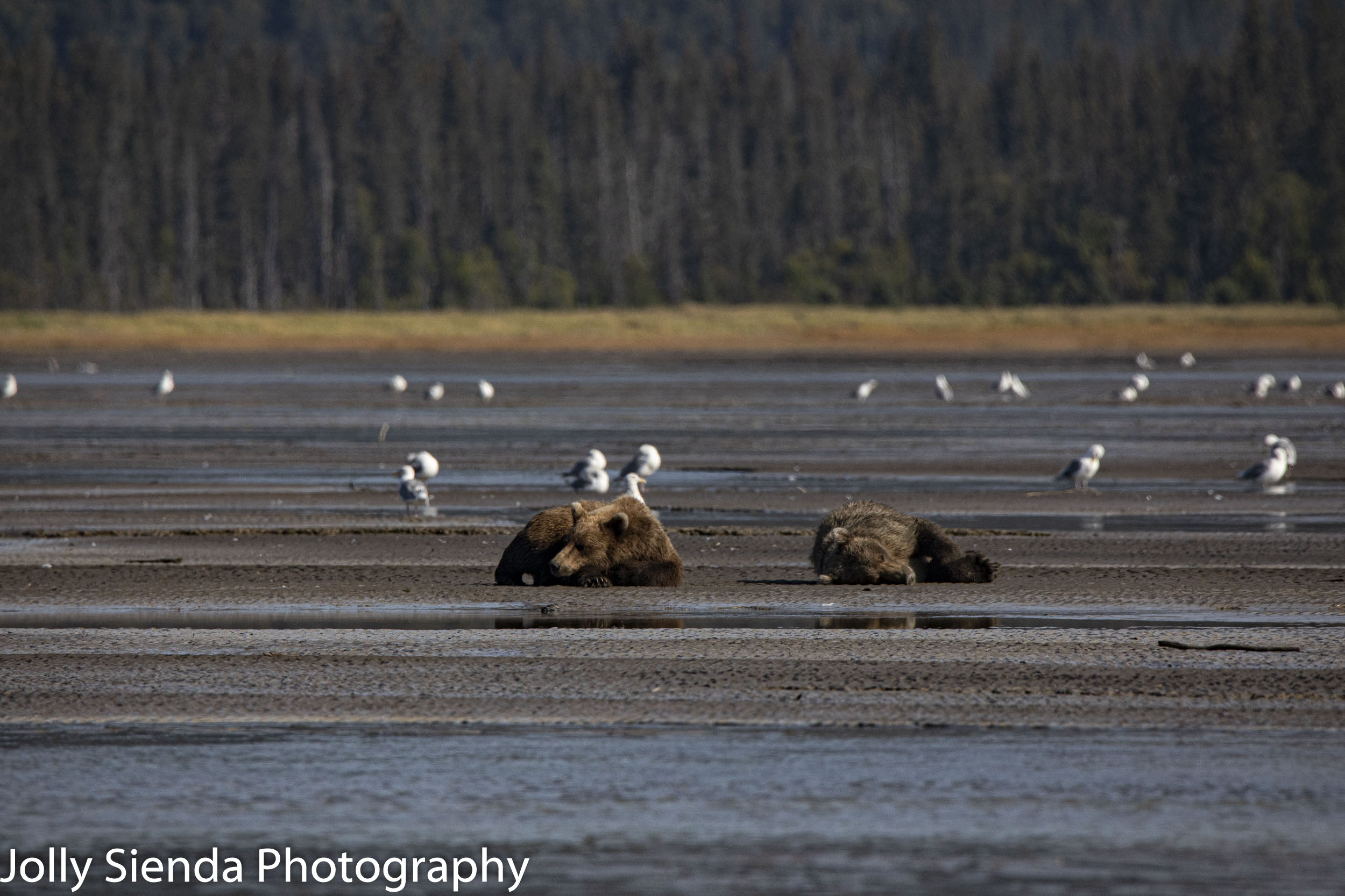 Sleeping bears, Kachemak Bay, Kenai Peninsula, Alaska
