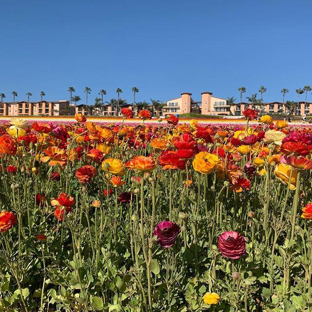 Beautiful Carlsbad flower fields #carlsbad #carlsbadowerfields#orianwellness