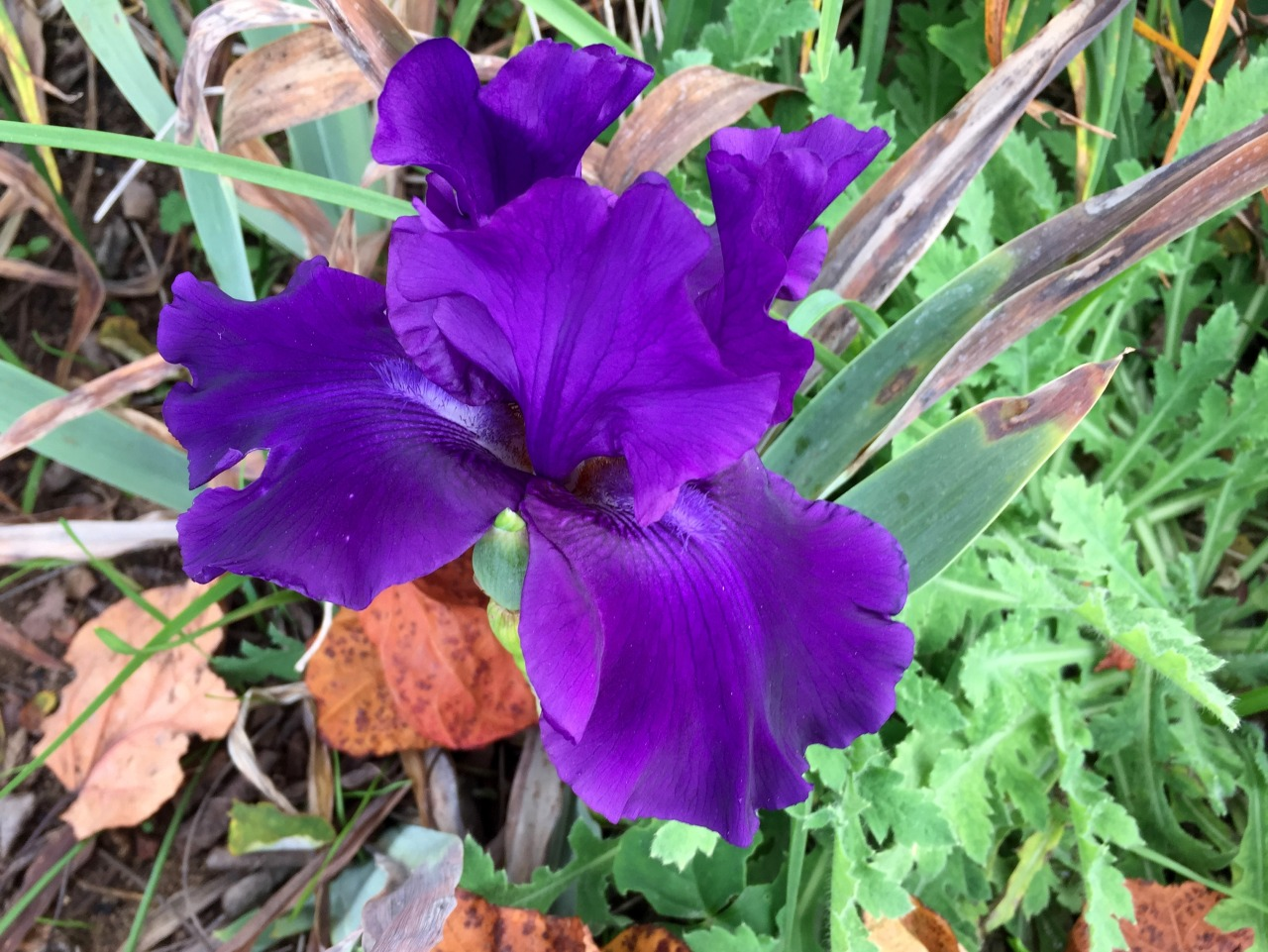 """An iris appears in the autumn debris.  """"A distinctive amount of a reasonable scarcity improves value greatly.""""   –Ernest Agyemang Yebnah"""