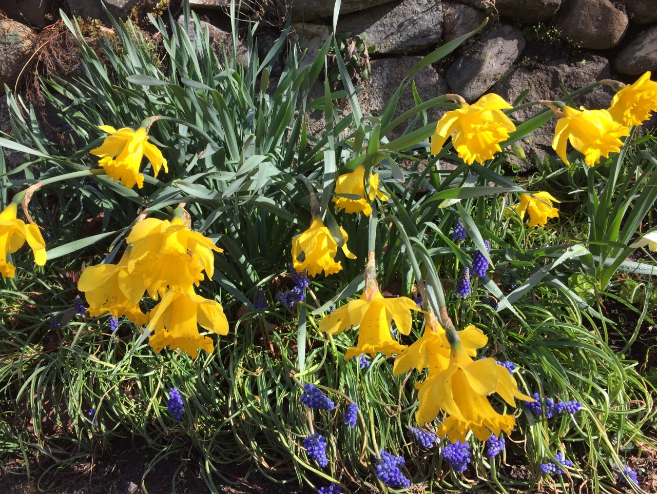 Daffodils   April showers hang around To see if they can drown the ground. Resourcefully the garden copes By raising yellow periscopes.  –D. A. W.   Daffodils nodding from the rain in Ipswich, Massachusetts