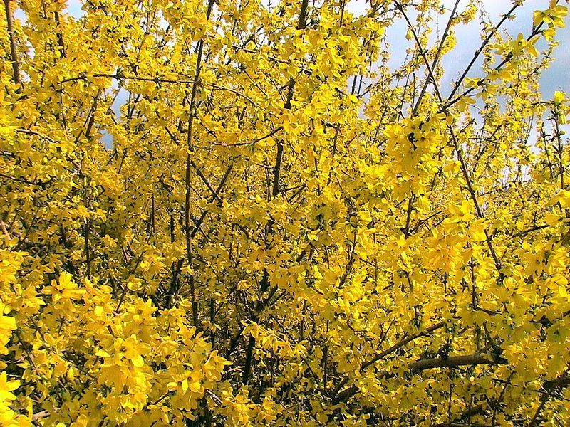 A Word to the Bushes  Forsythia–for heaven's sakes. What's your rush? Apply the brakes. You throw your April gold away Like children on allowance day.  –D. A. W.