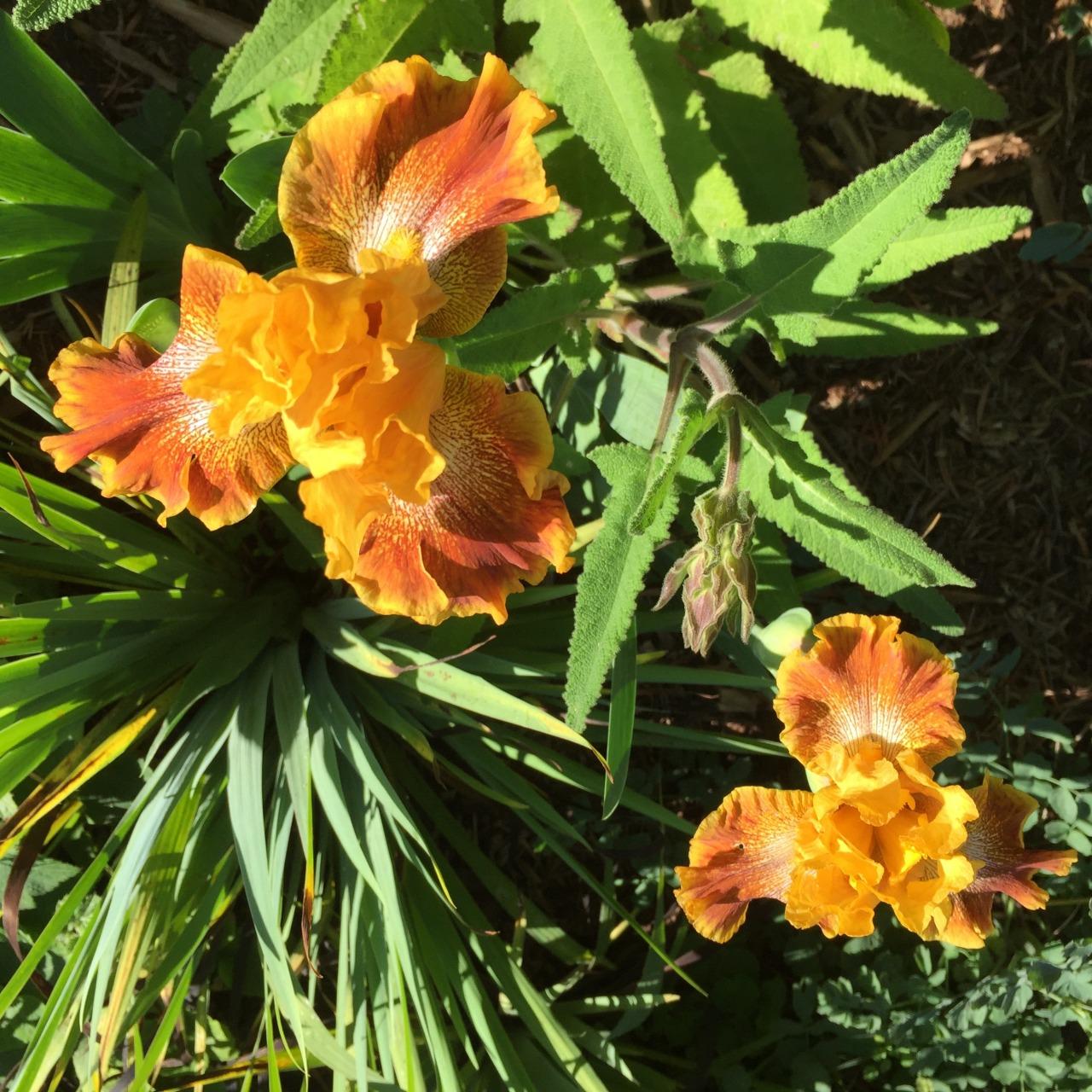 April in San Diego. Irises in the streetside garden.