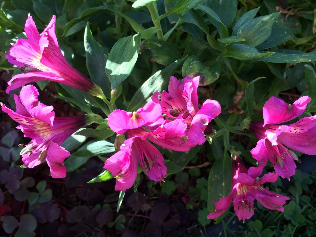 On a magenta jag. Alstromerias blooming in my garden.