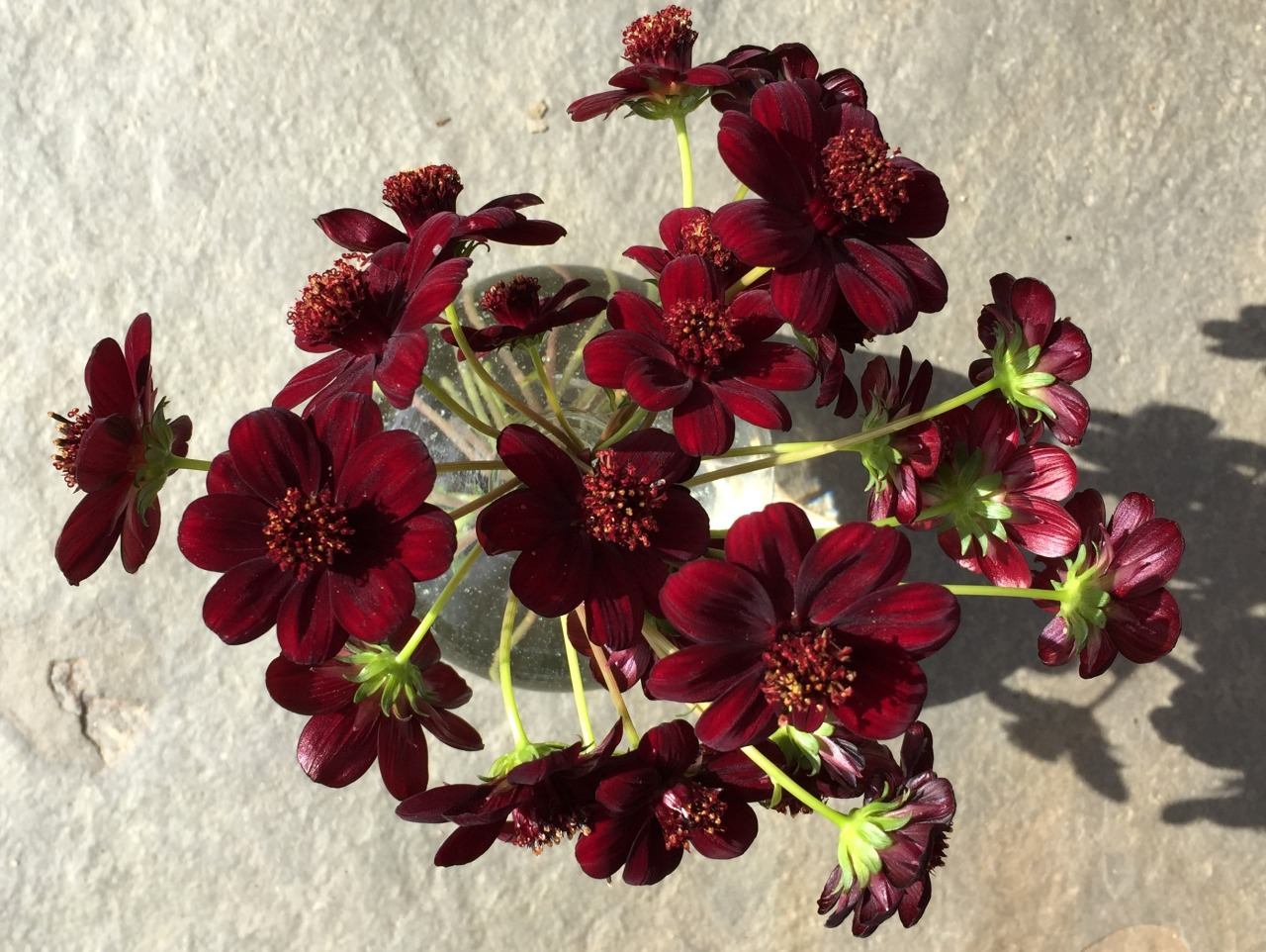 Chocolate cosmos  grown in my garden for use in my son's wedding. Oh, chocolate…in a flower?   Velvety textured, chocolate-scented, deep maroon flowers with darker brown center on divided dark green leaves. Provide fertile, well-drained soil for care-free, fast-growing performance. Tuberous perennial. Description from  Monrovia     Details on how to grow  Fine Gardening    Cosmos atrosanguineus  in Wikipedia , native to Mexico, extinct in the wild.