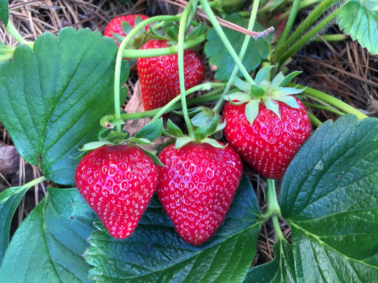 May 27, 2015   Daily delights.'Seascape' everbearing strawberries.