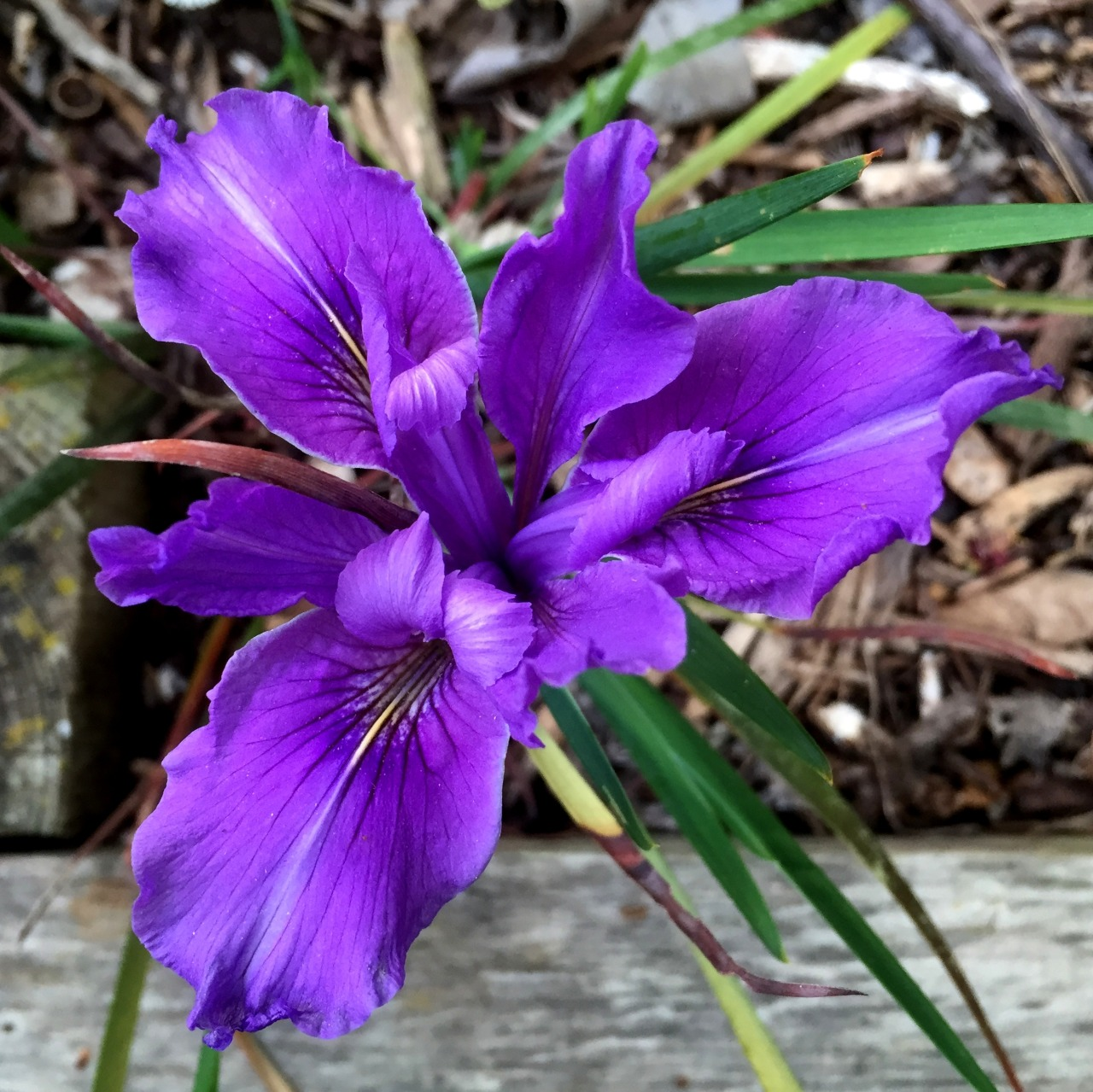 April 14, 2015   Pacific iris blooming under the apricot tree in the edible garden.