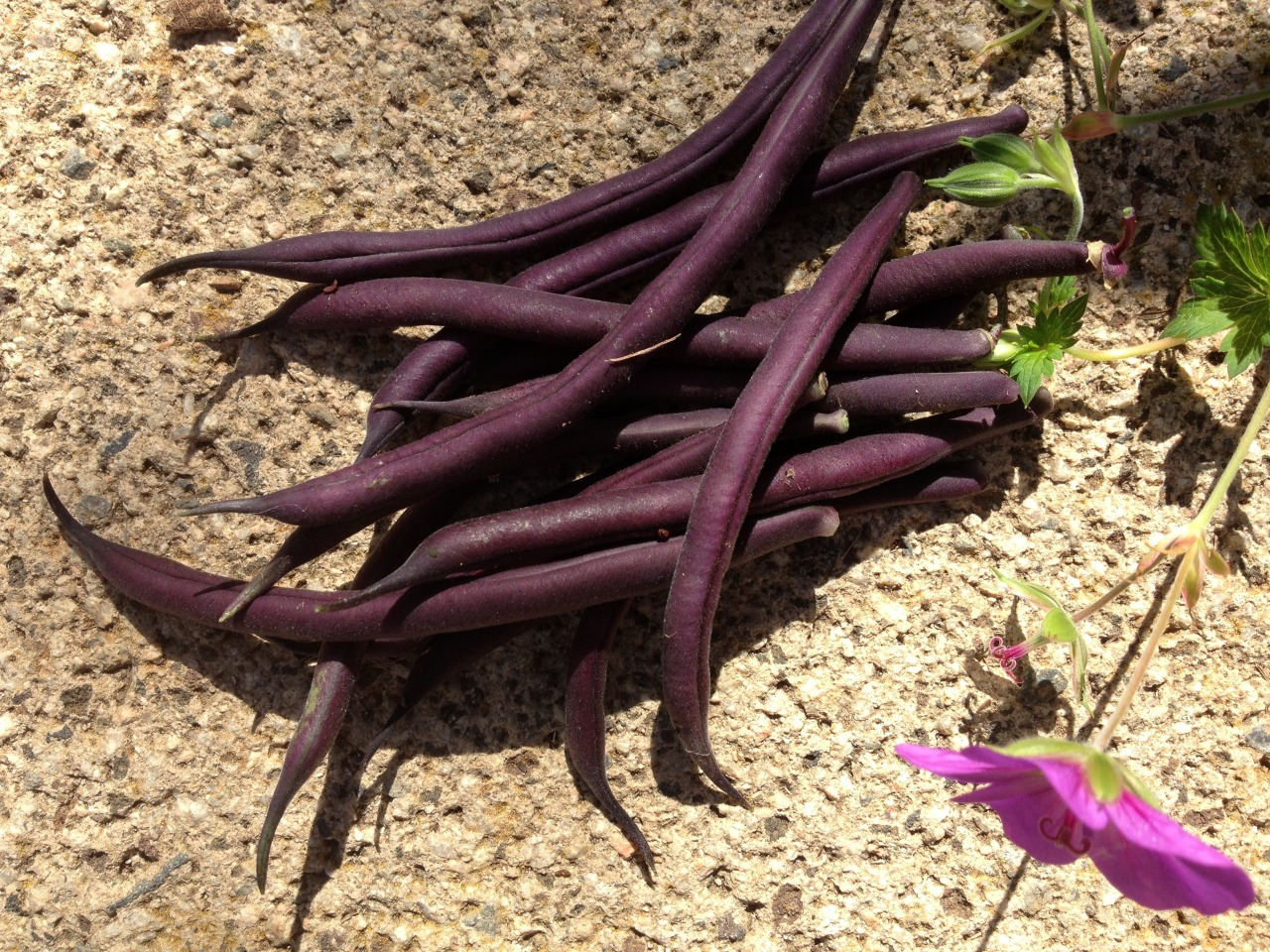 September 17, 2014    The first of the  'Royalty Purple Pod'  bush beans planted in early August.