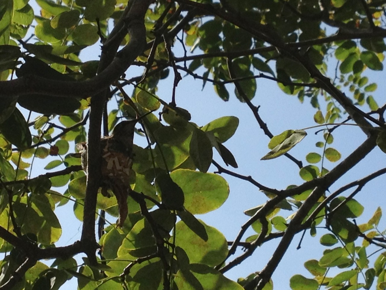 June 11, 2014    A nesting hummingbird in the tree outside my kitchen window.