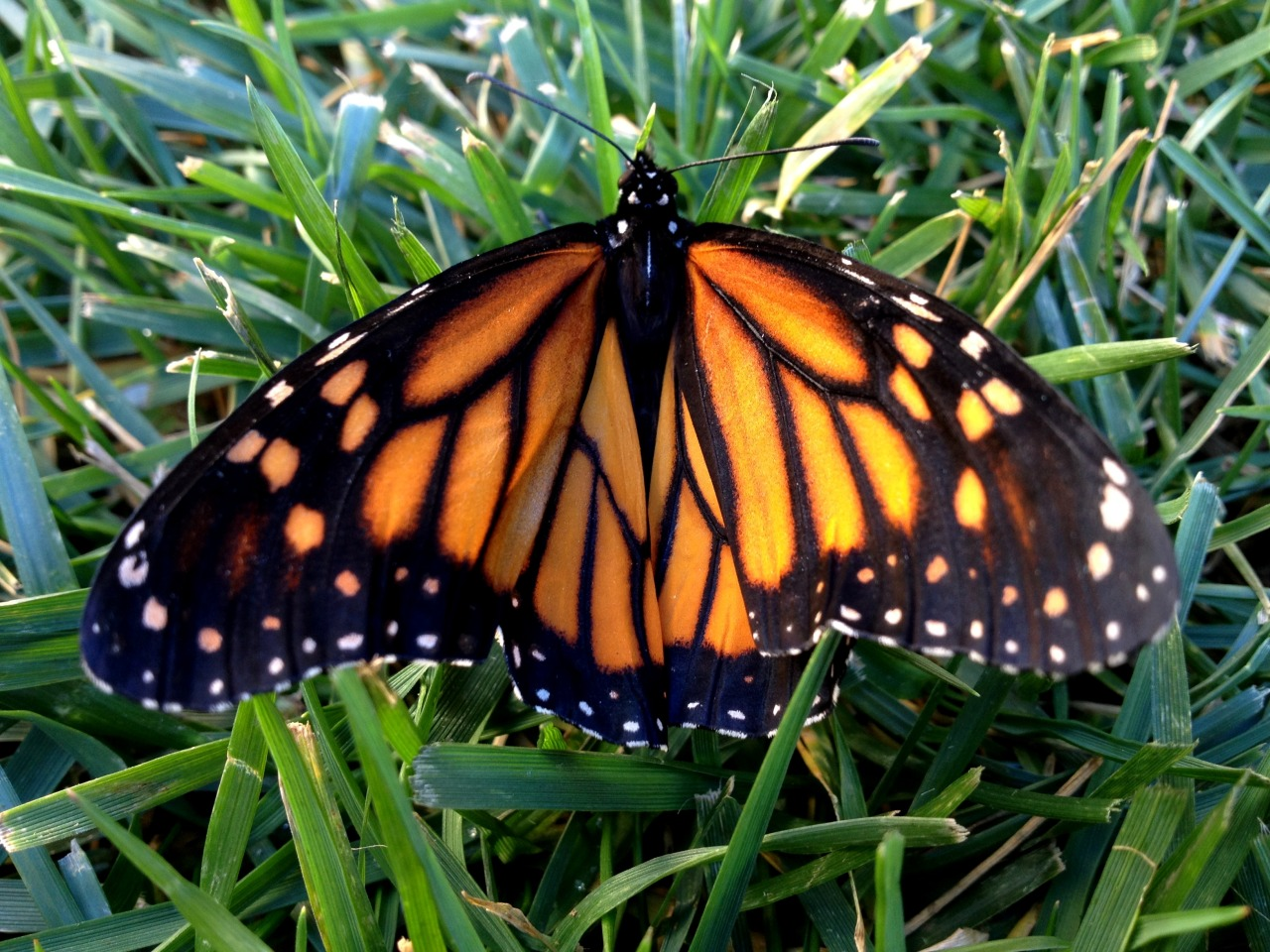"Not a ""dust of snow"" but a newly emerged monarch on a January day.    DUST OF SNOW    The way a crow Shook down on me The dust of snow From a hemlock tree   Has given my heart  A change of mood And saved some part Of a day I had rued.   –Robert Frost"