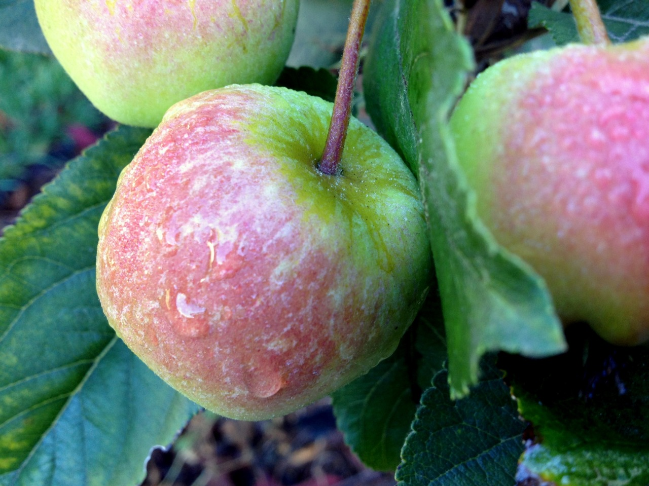 October 19, 2013    Morning dew on the second crop of 'Dorsett Golden' apples that are coming along.