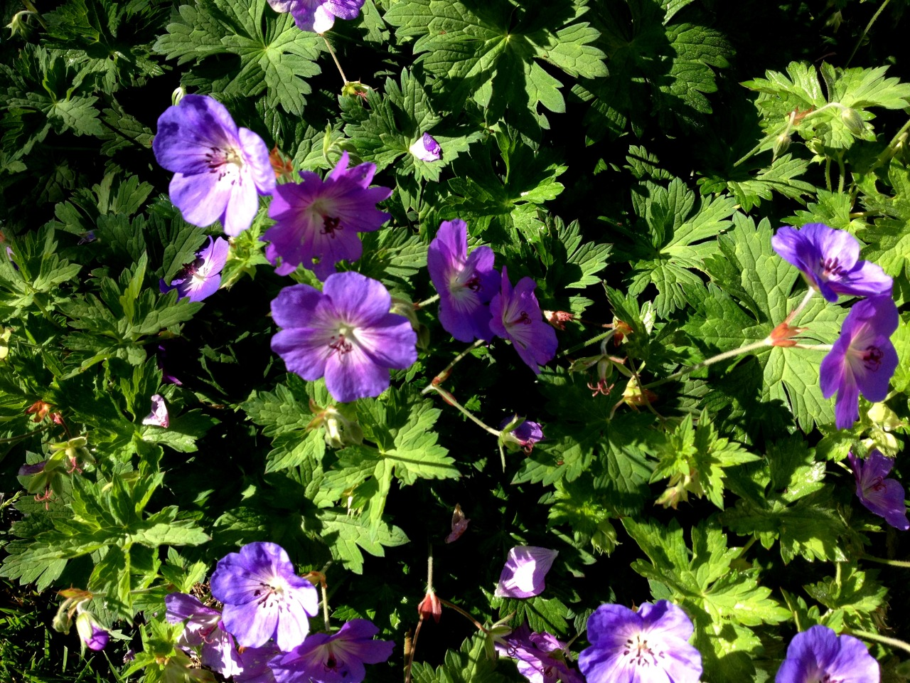 September 21, 2013    Three large Geranium 'Rozanne' plants scramble about in a bed next to the edible garden. Bees frequent the plants all day which may help with pollination in the garden.  See more images  of the planting in early spring.