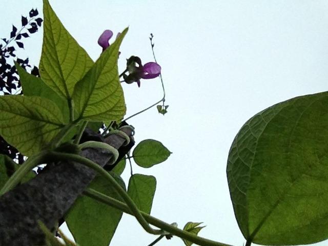 Green beans headed skyward.