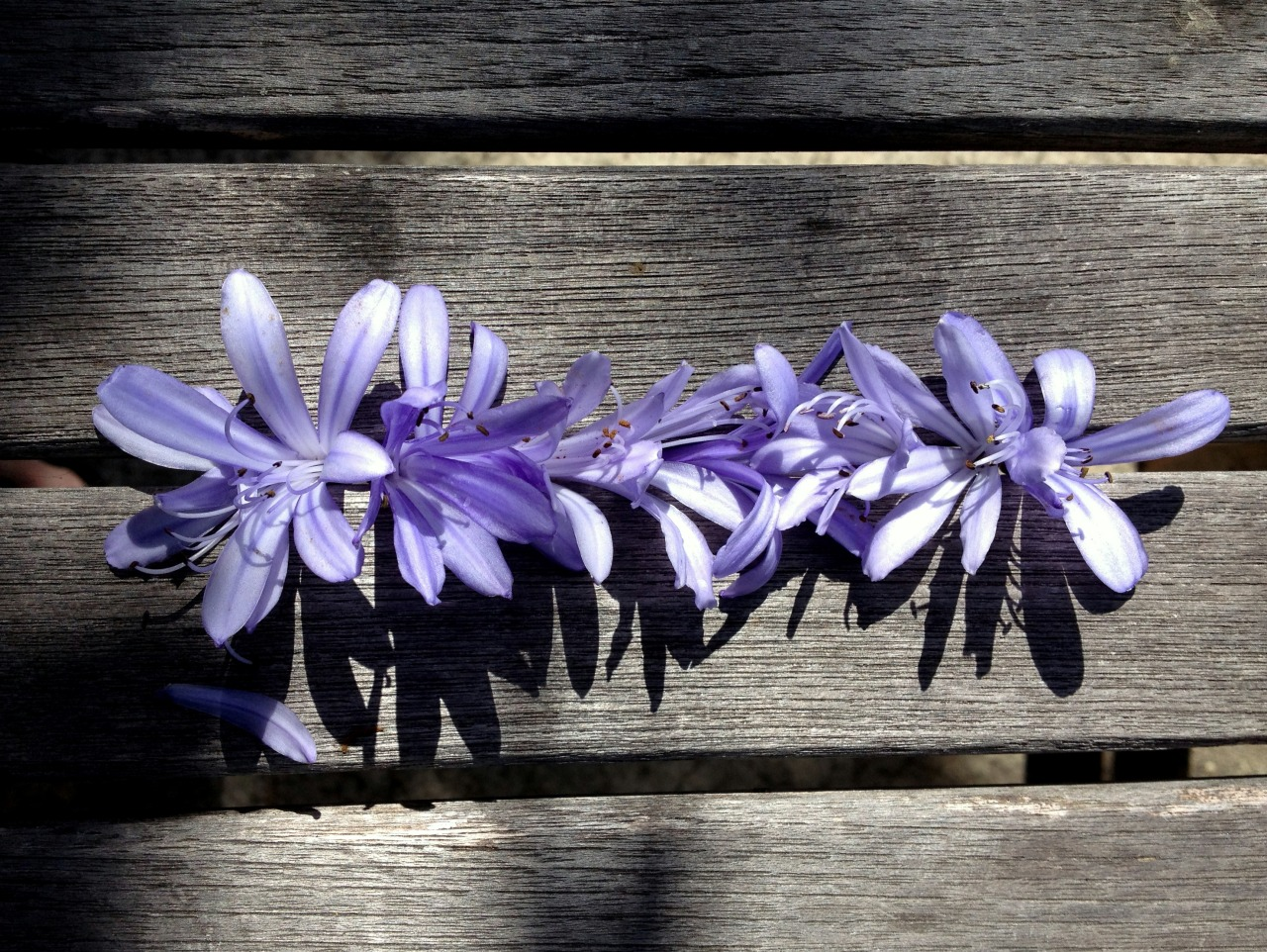 July 6, 2013    Park bench in Santa Barbara  dressed up  with agapanthus florets.