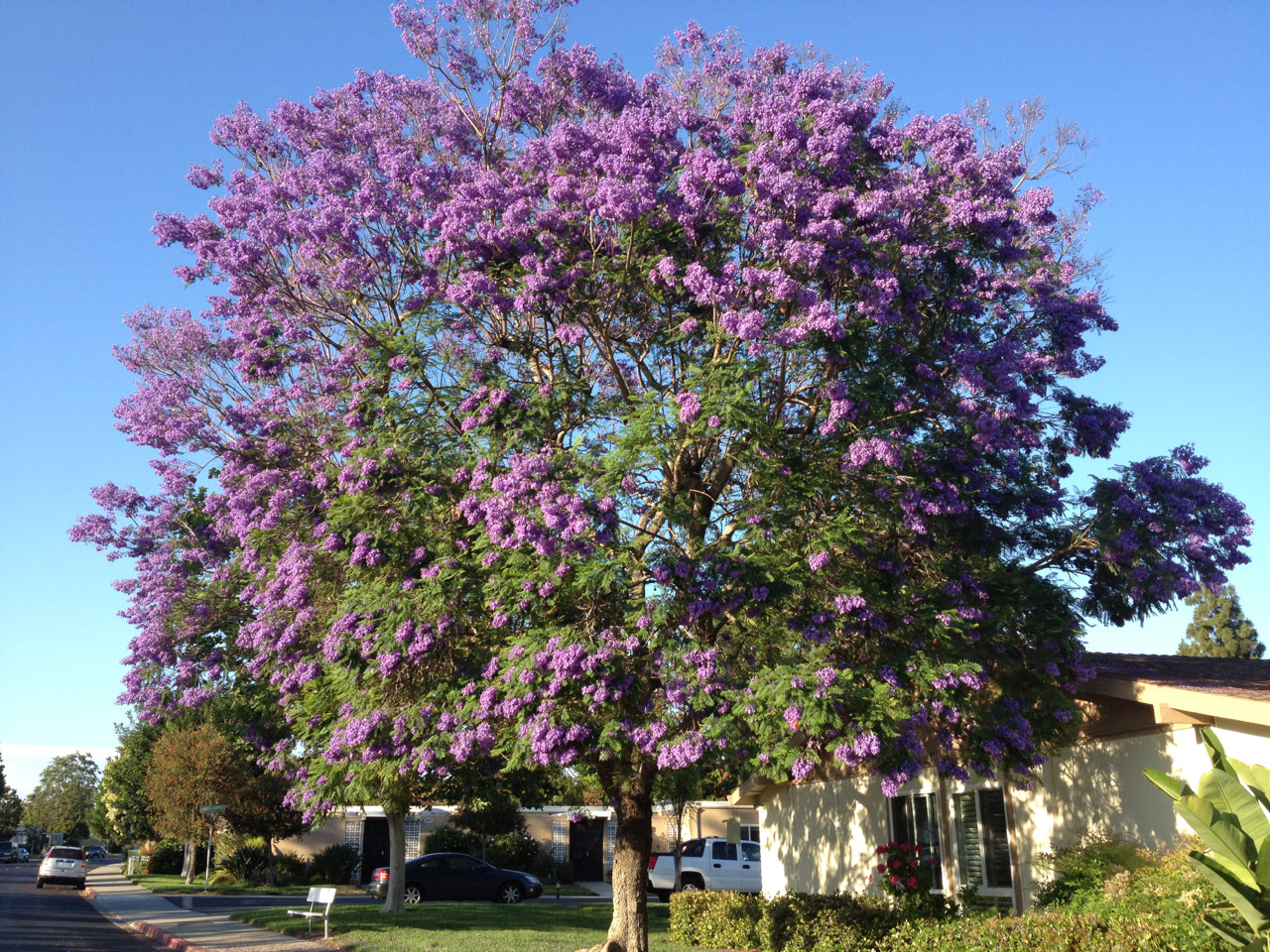 Life is too short not to stop, back up and take a picture of a spectacular jacaranda.