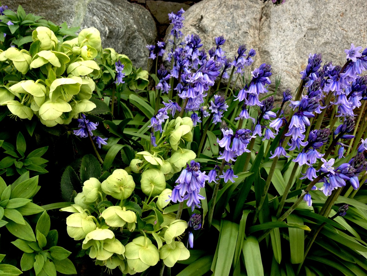 April 17, 2013    Spanish bluebells and hellebores in my spring garden