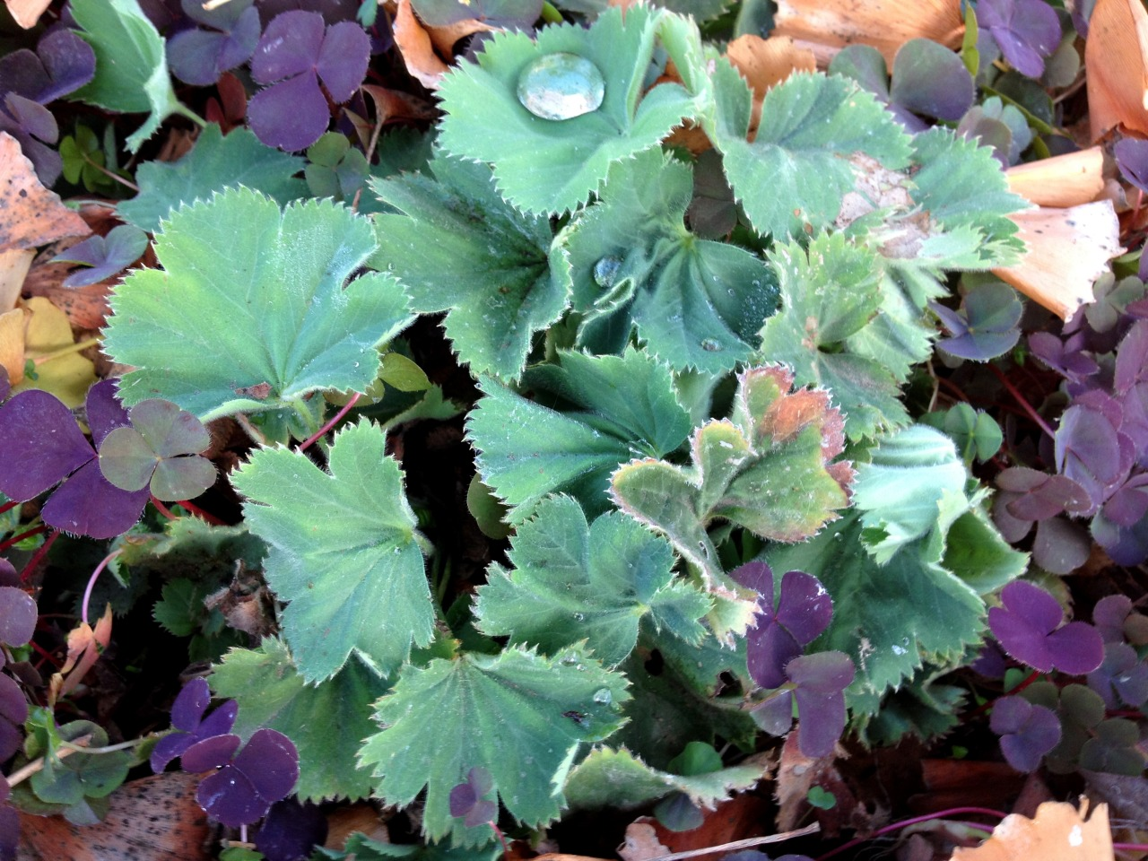 January 24, 2013    Scene from the streetside garden: Alchemilla mollis (Lady's Mantle) with Oxalis 'Garnet' in a sea of ginkgo leaves.
