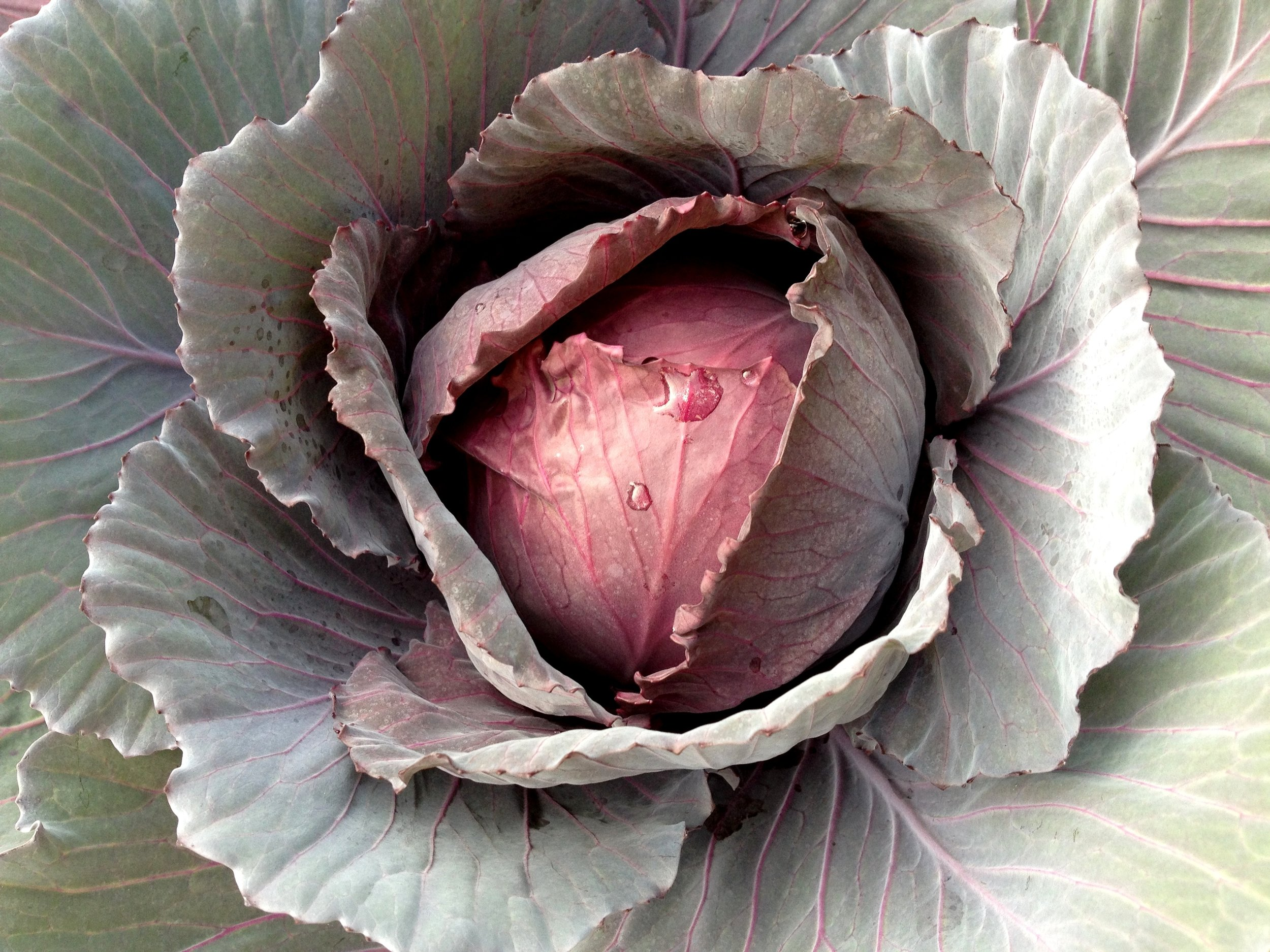 Red cabbage in the winter garden
