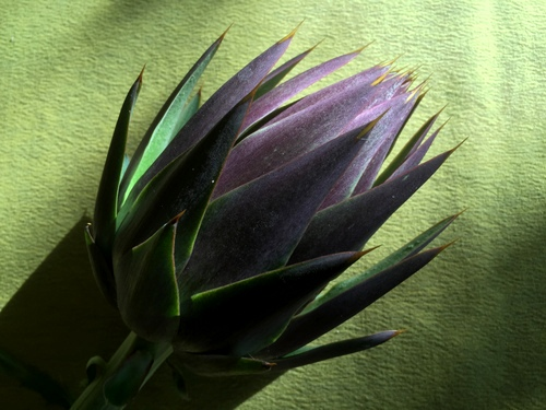 EG Purple artichoke picked Sm.JPG