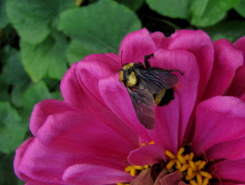 Bumblebee on zinnia in the vegetable garden