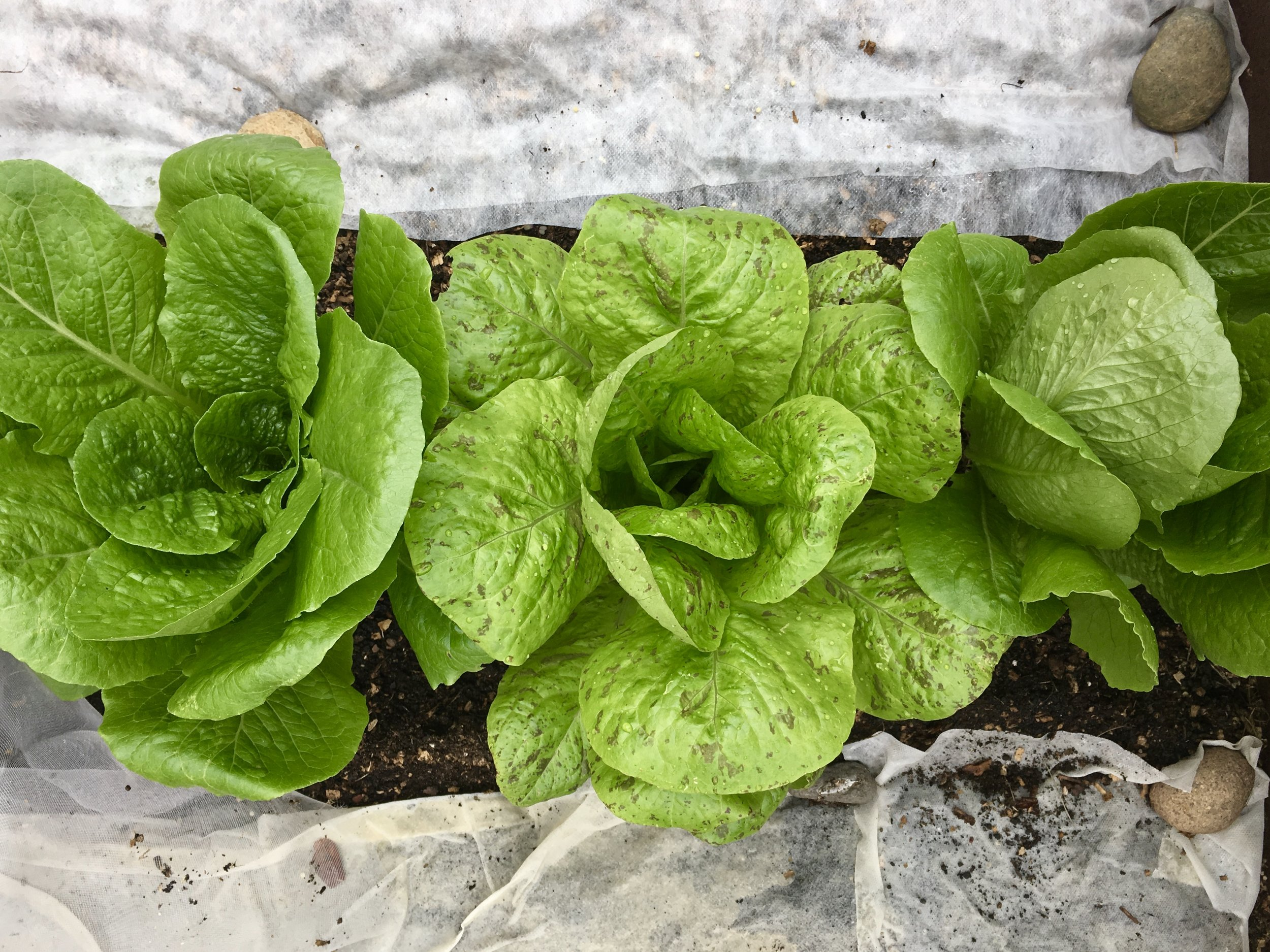 Romaine lettuce from transplants with seeded lettuce nearby.