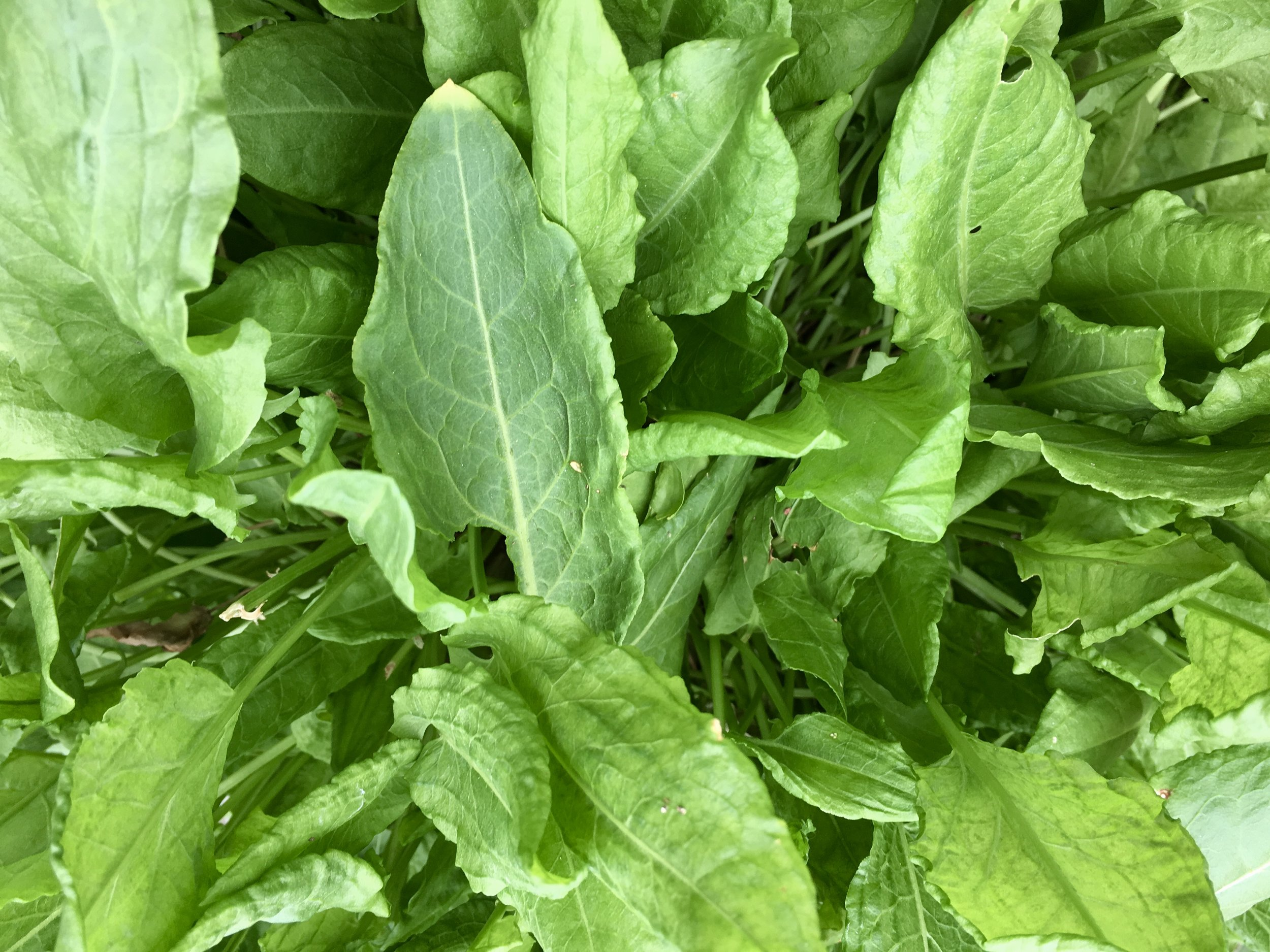 French sorrel in a 12-inch container near the kitchen.