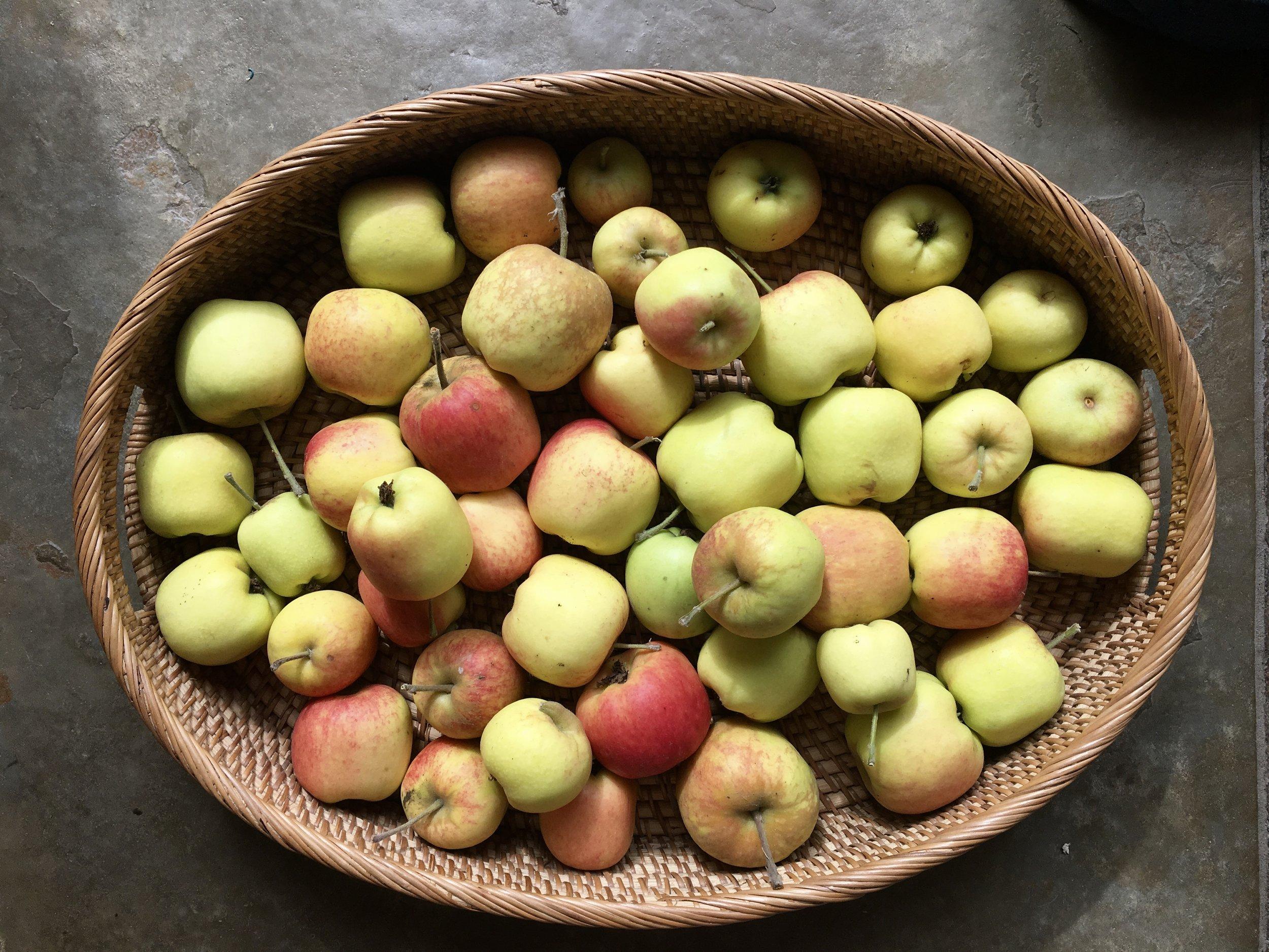 'Dorsett Golden' apples.