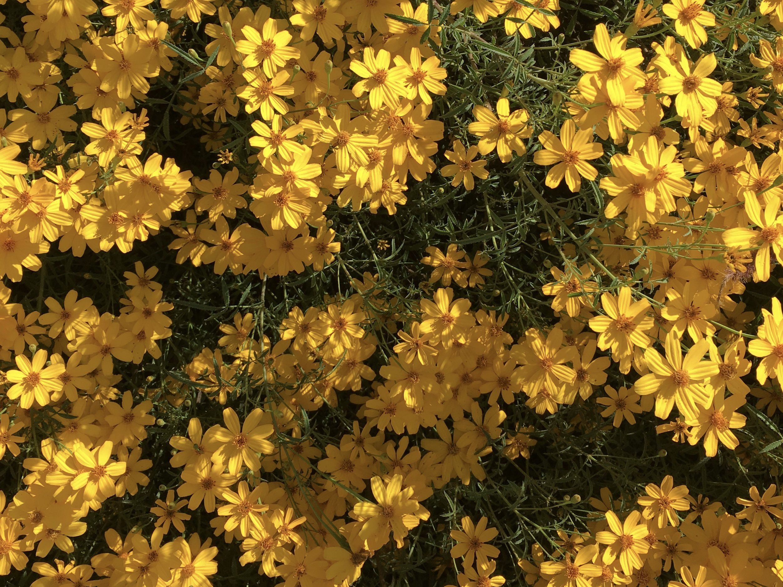 And it is fall in my street-side garden, Mexican marigold—Tagetes lemmonii
