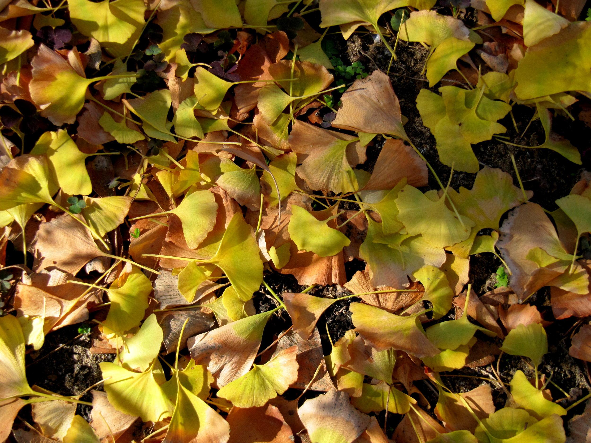 Ginkgo leaves in winter light.