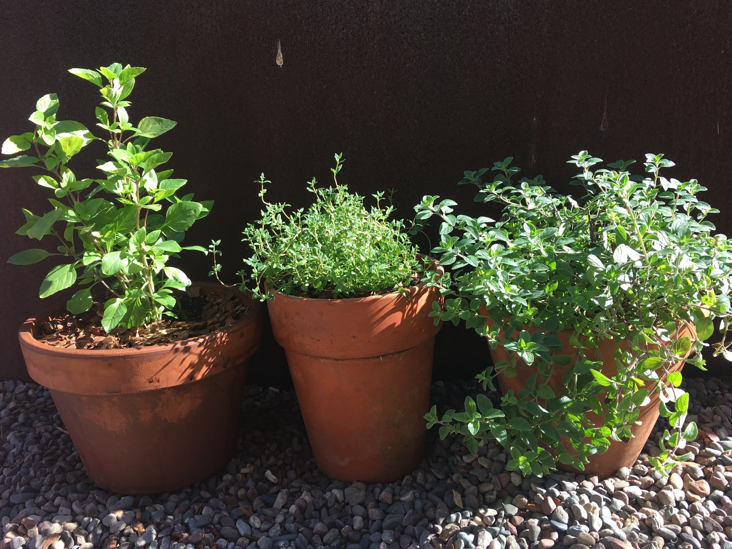 Greek basil, thyme and oregano in the winter light