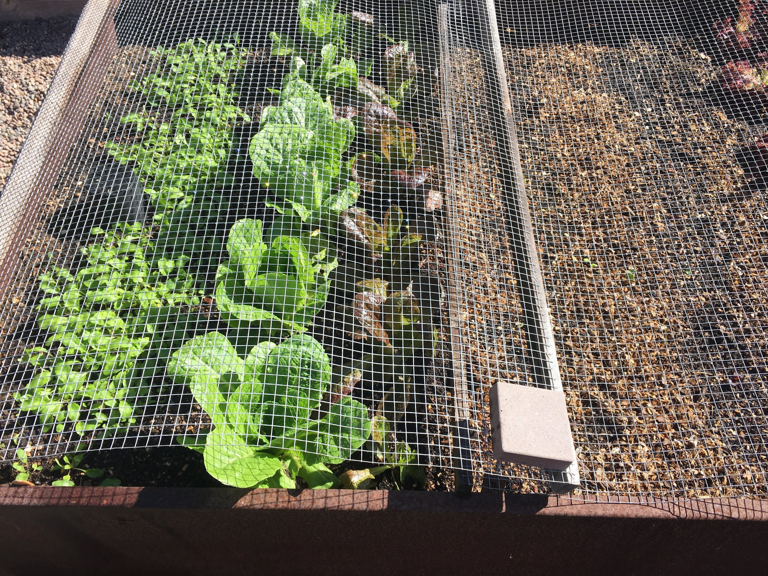 Screens over the lettuce and arugula to keep the birds from snacking.