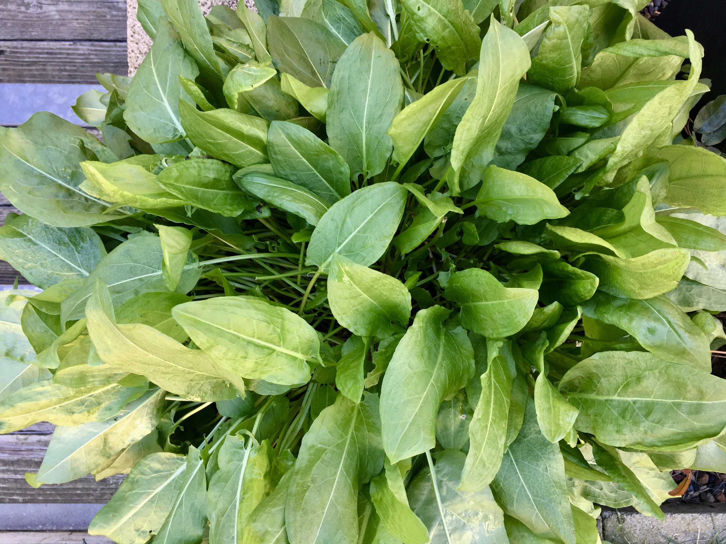 The French sorrel benefitted from a soaking rain and responded with a flush of new leaves. It remains quite happy and contained in a 12-inch terra cotta pot.