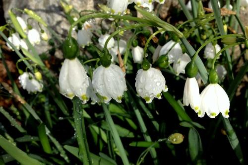 Leucojum, summer snowflake after winter rain.