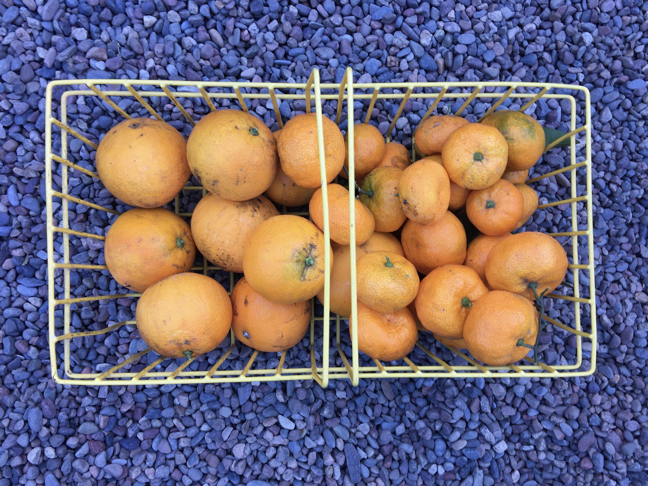 'Washington' navel oranges and 'Satsuma' tangerines