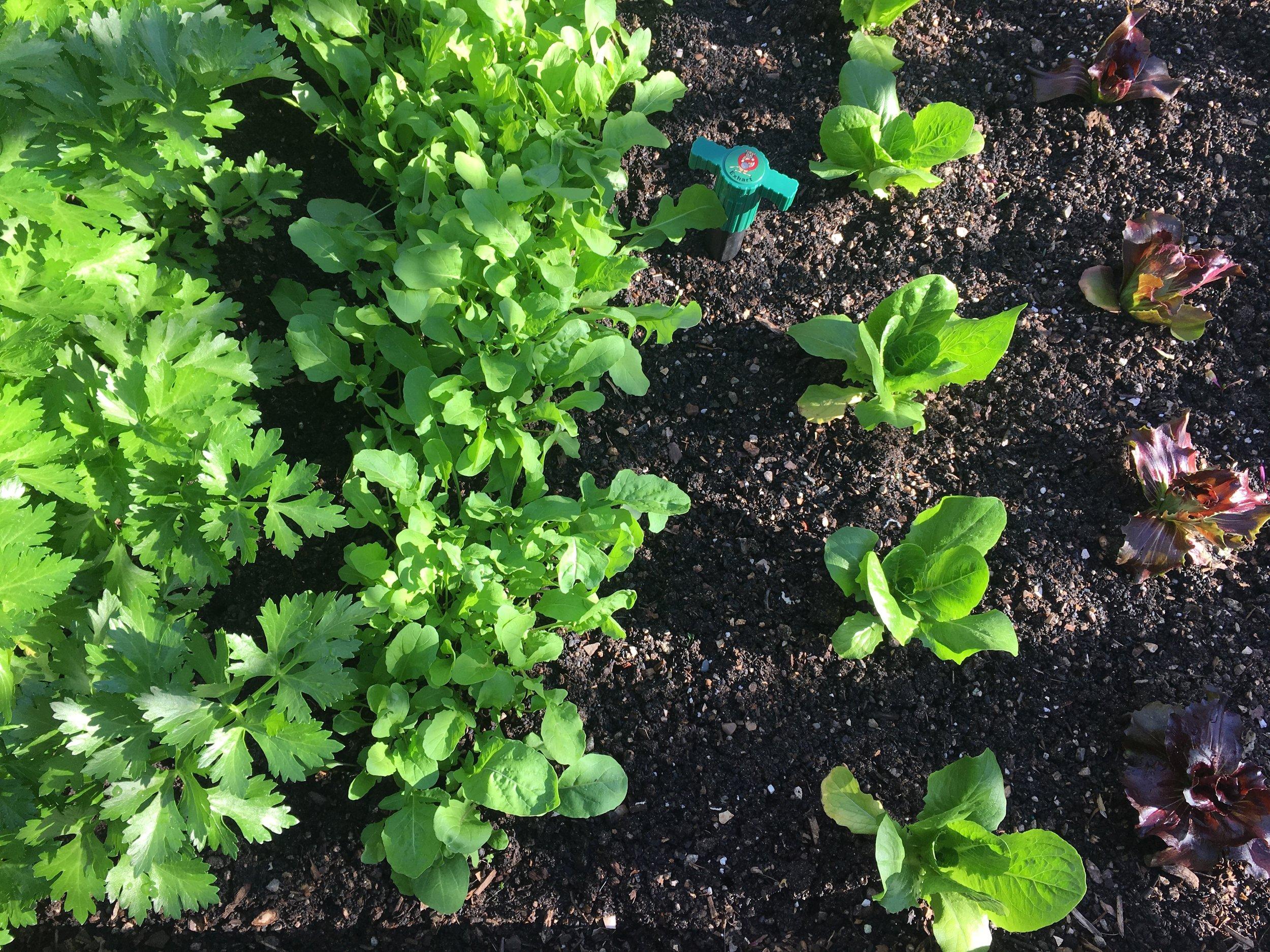 Bed 3: Celery, arugula, lettuce, radicchio