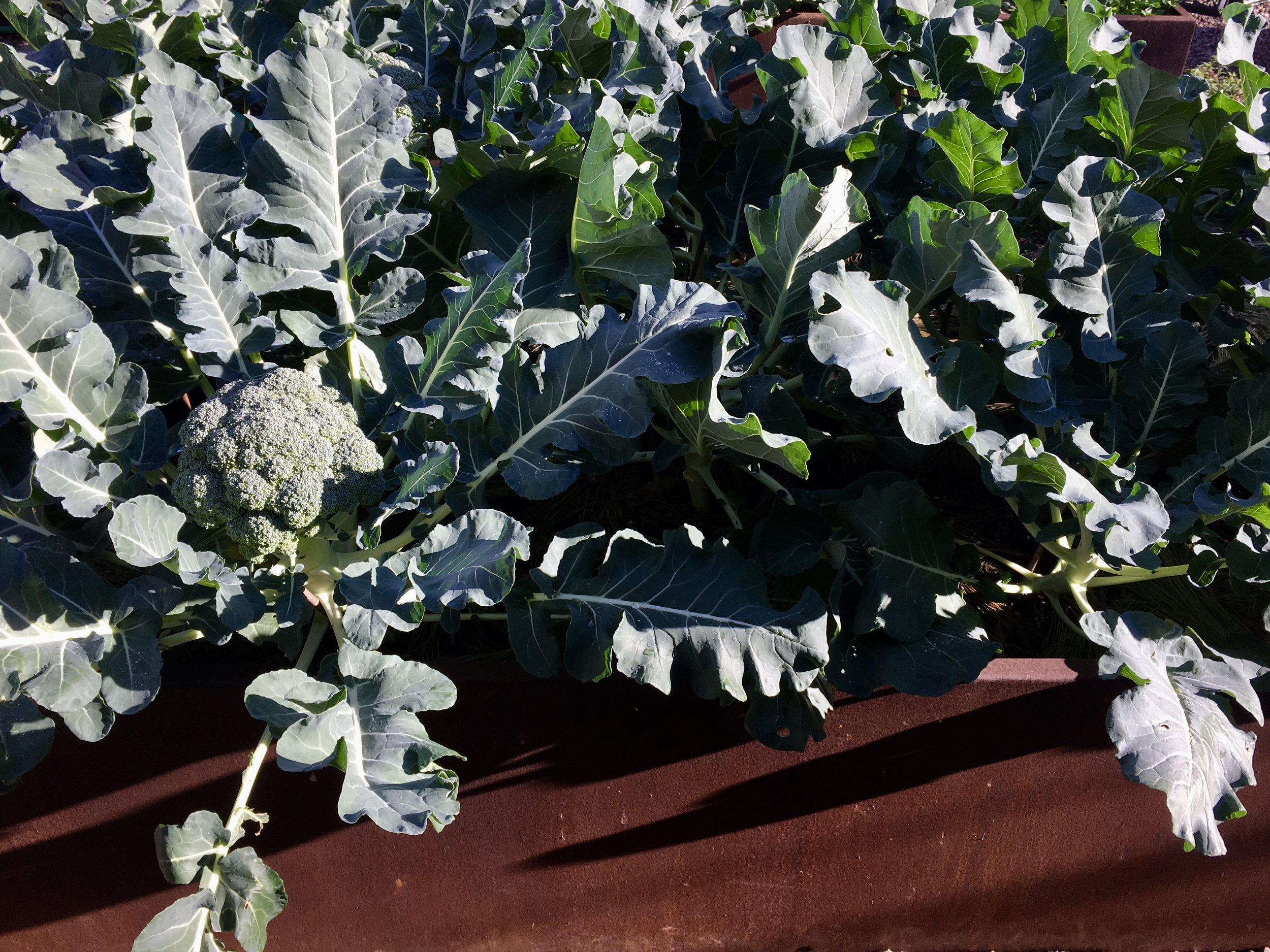 Bed 1: Twelve 'Premium Crop' broccoli plants