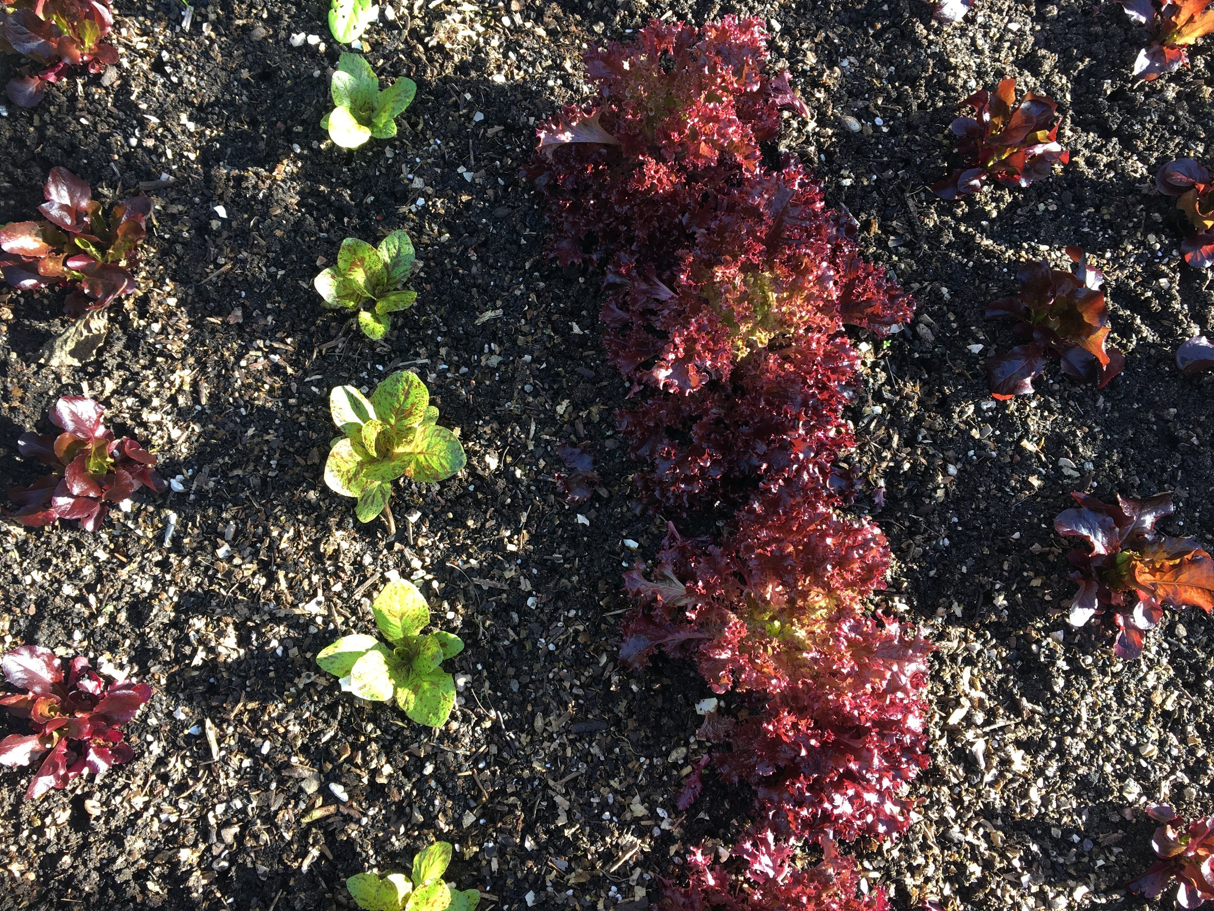 Bed 4: 'Sea of Red' lettuce, 'Flashy Troutback' (Freckles) lettuce, 'Lolla Rossa' lettuce