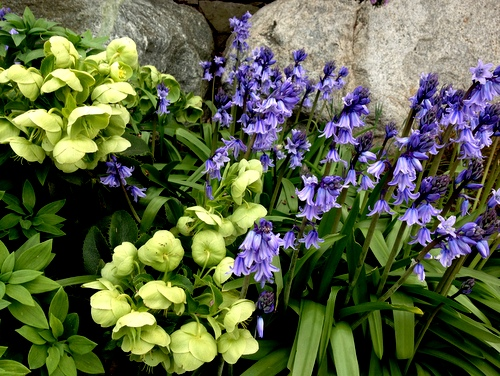 Spanish bluebells and hellebores in my spring garden.