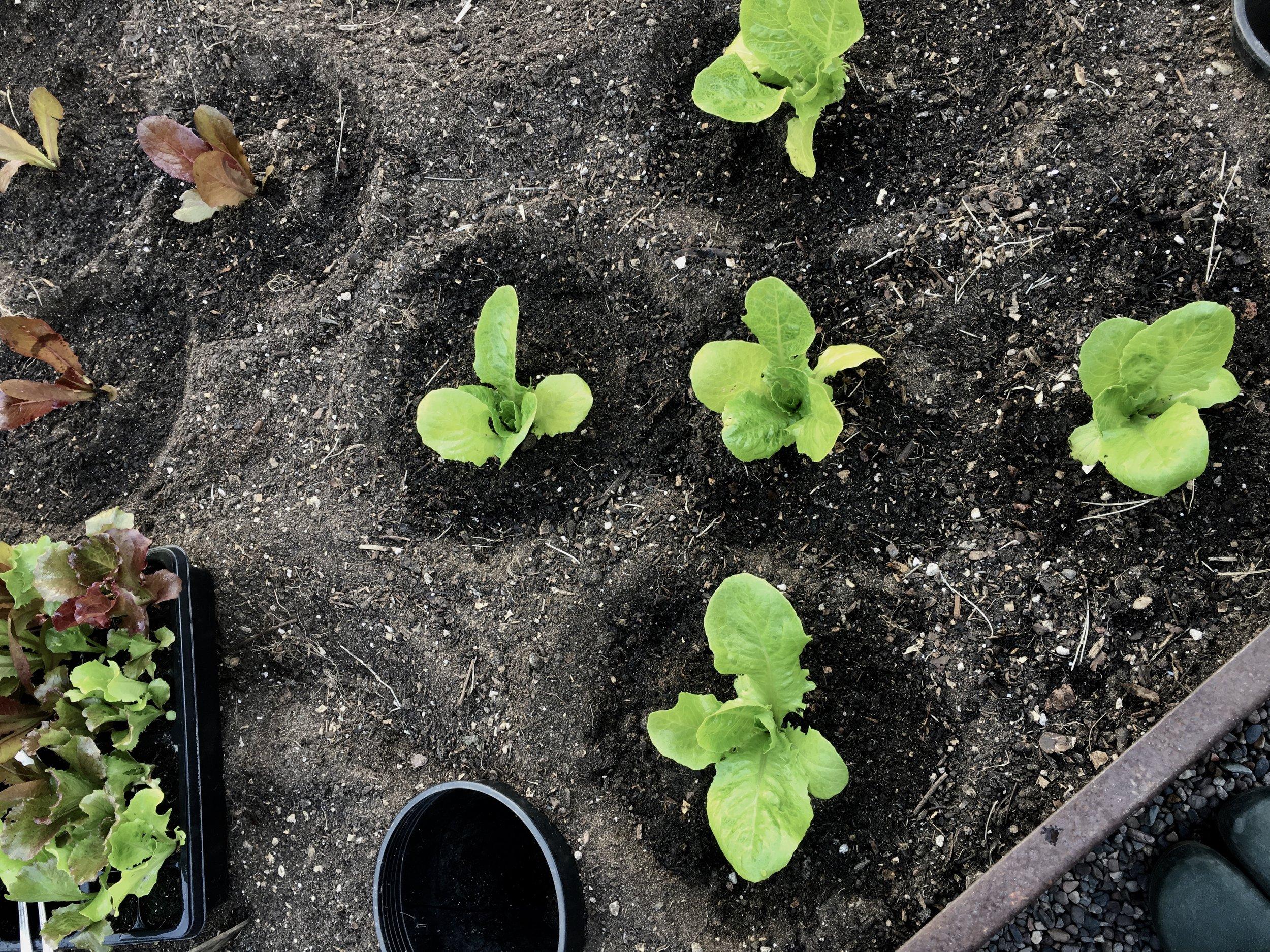 Jericho and Cimarron lettuces.