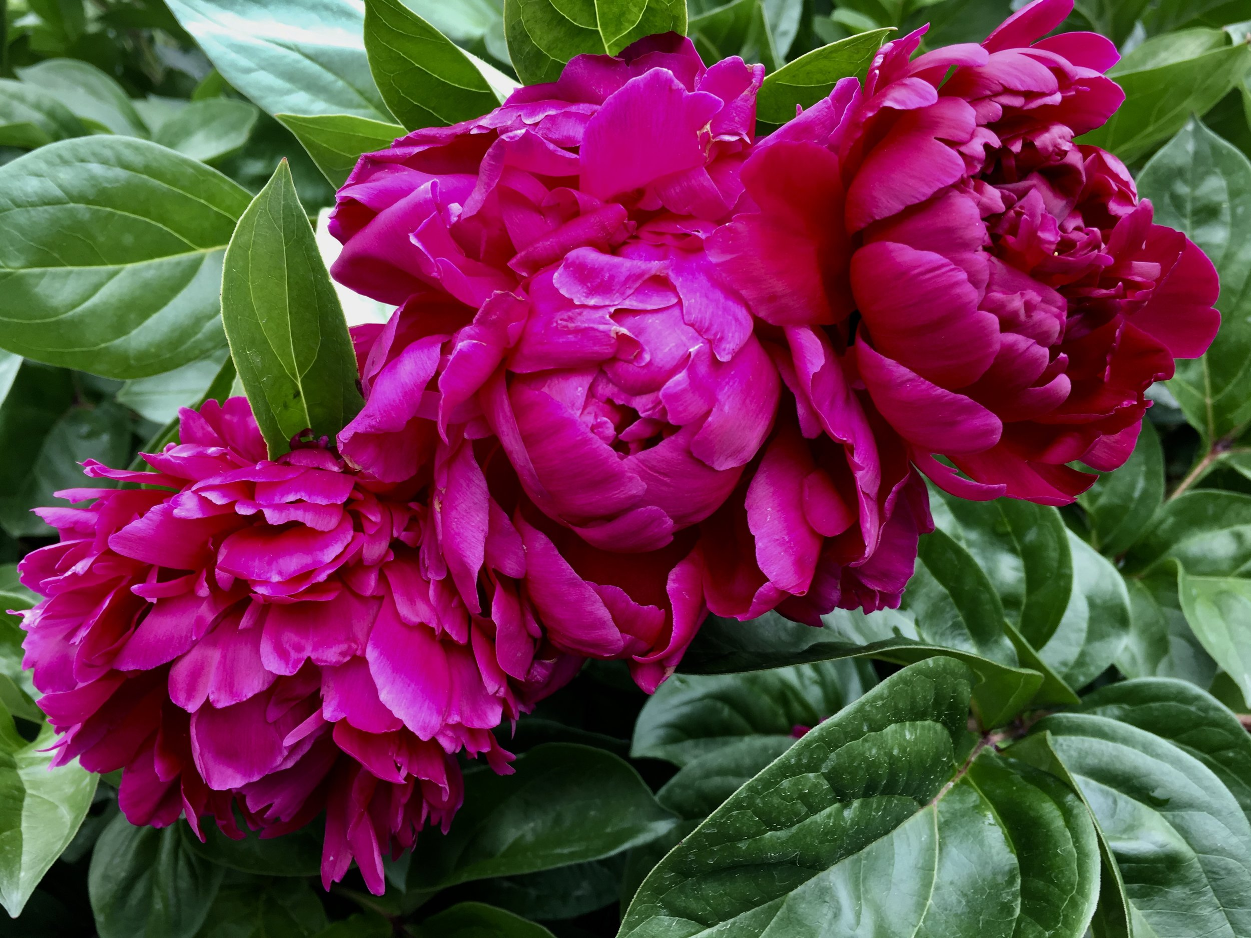 Peonies on a recent trip to China.