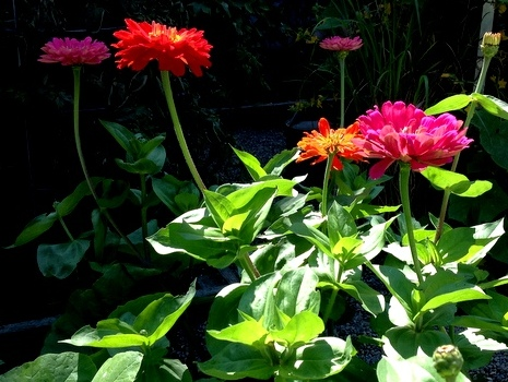 Another year of zinnias in my vegetable garden. Usually they bloom through until Thanksgiving and if I let them persist some years, Christmas.