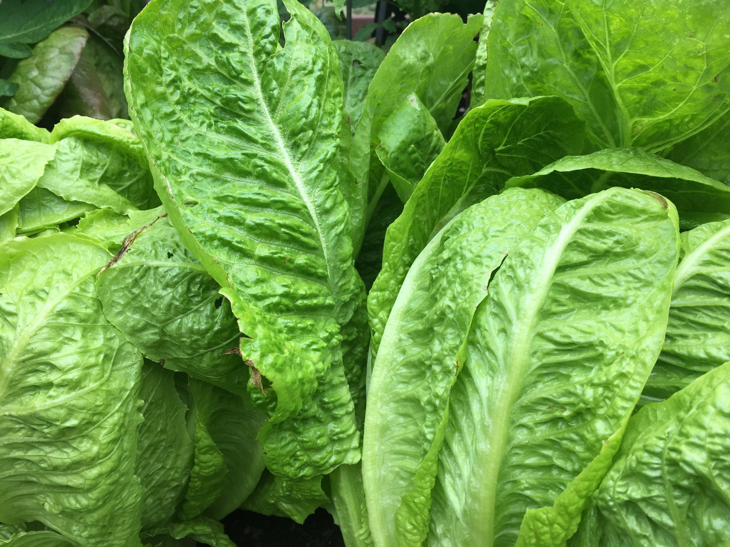 'Jericho' lettuce