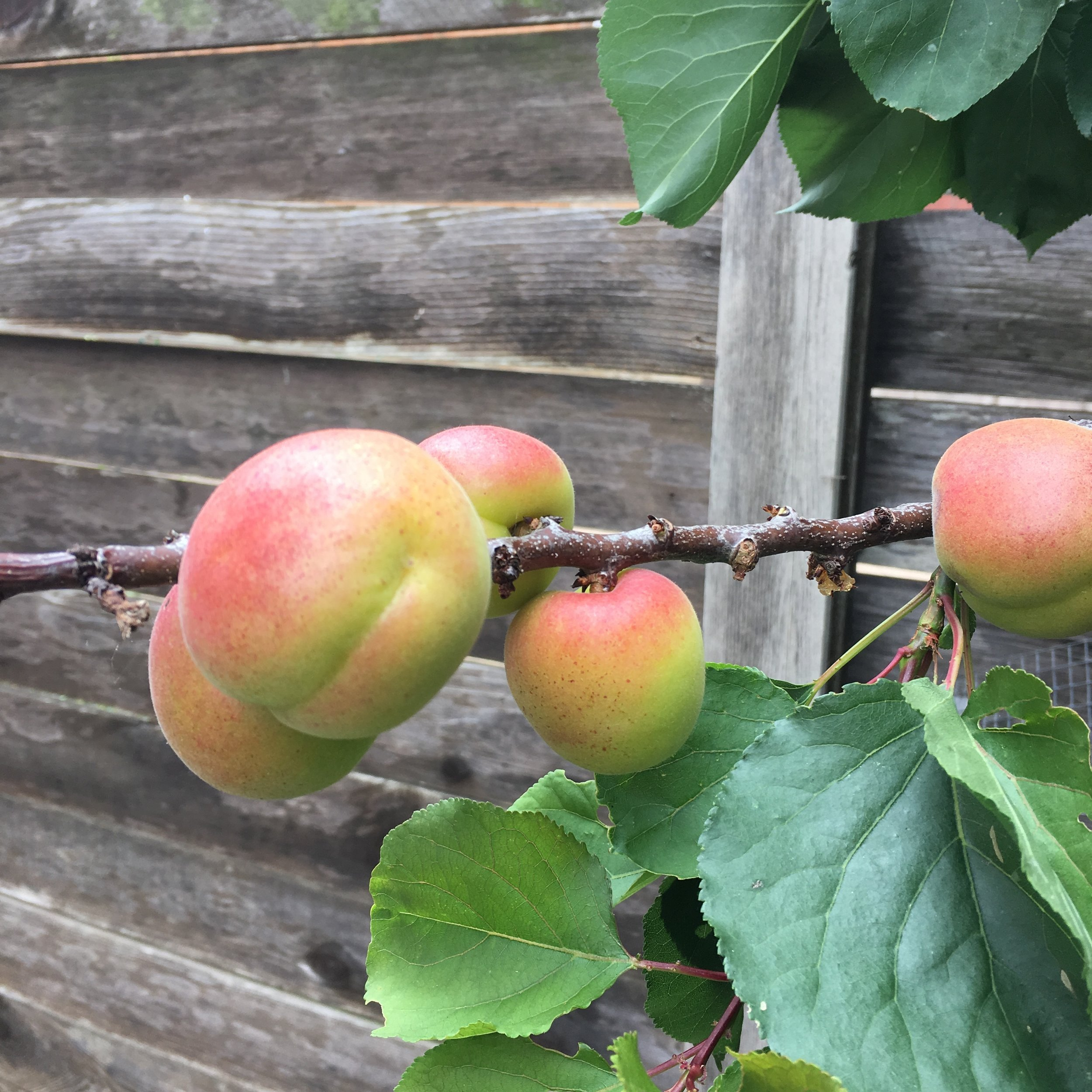 These are the yet-to-ripen 'Blenheim' (Royal) apricots that are a long-time California favorite. My parents grew this variety in their coastal, Southern California garden. It was a popular, lower-chill variety in the 1940's and 1950's.