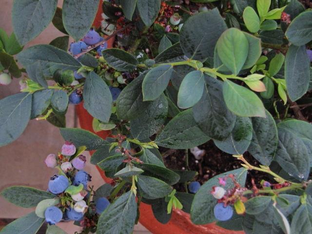 'Bountiful Blue' blueberries