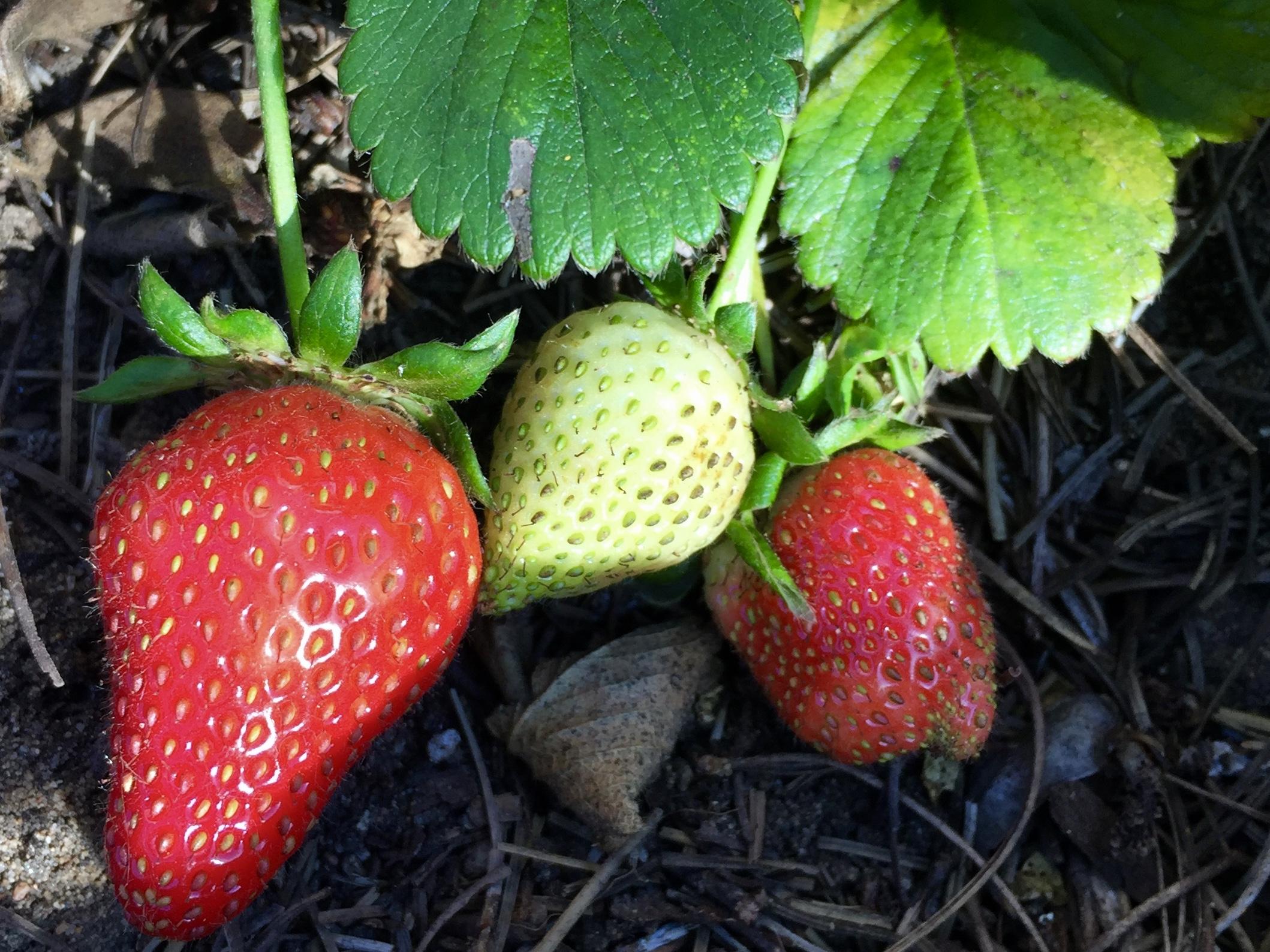 'Seascape' strawberries