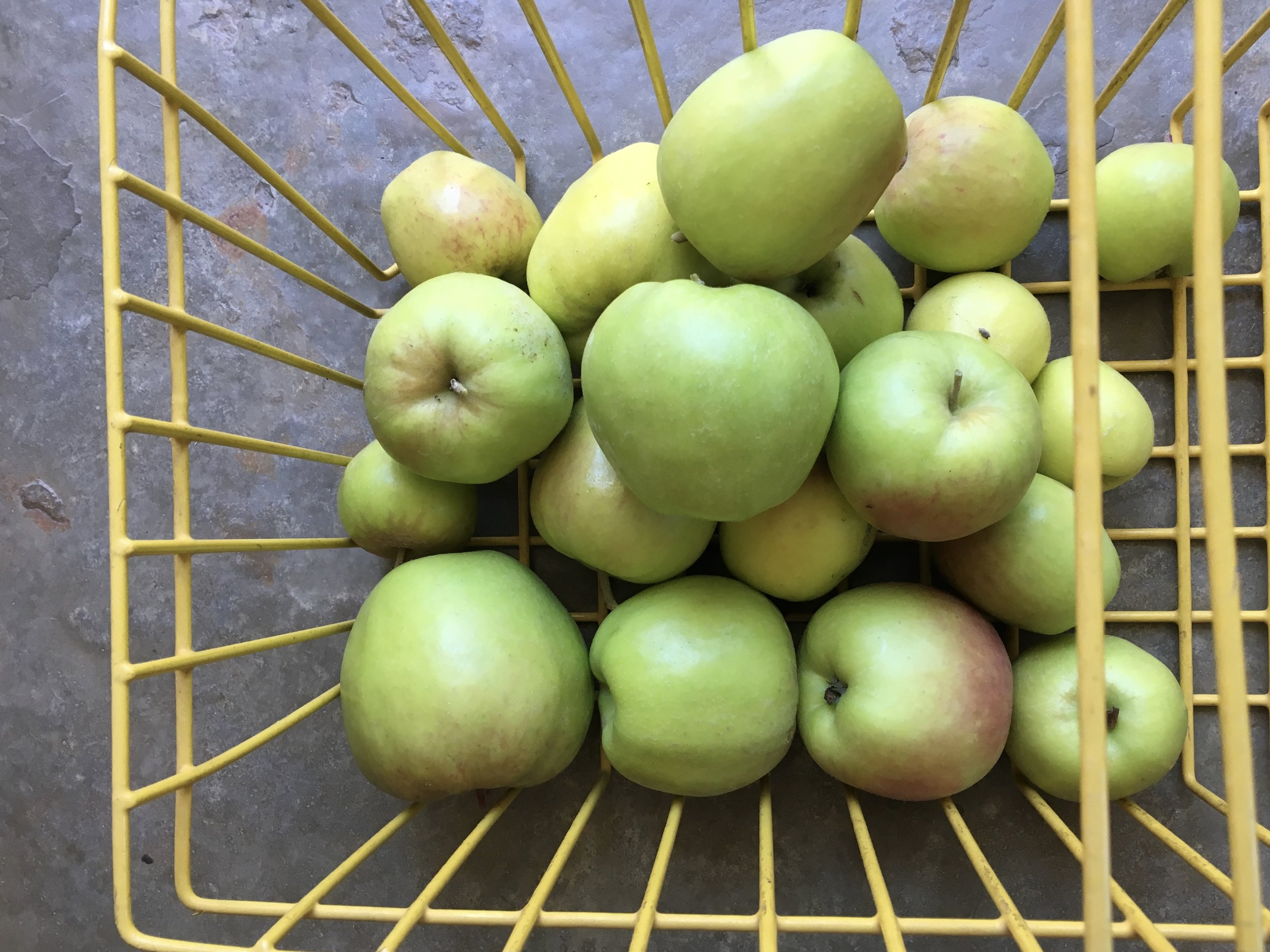The last of the 'Dorsett Golden' apple crop harvested recently.