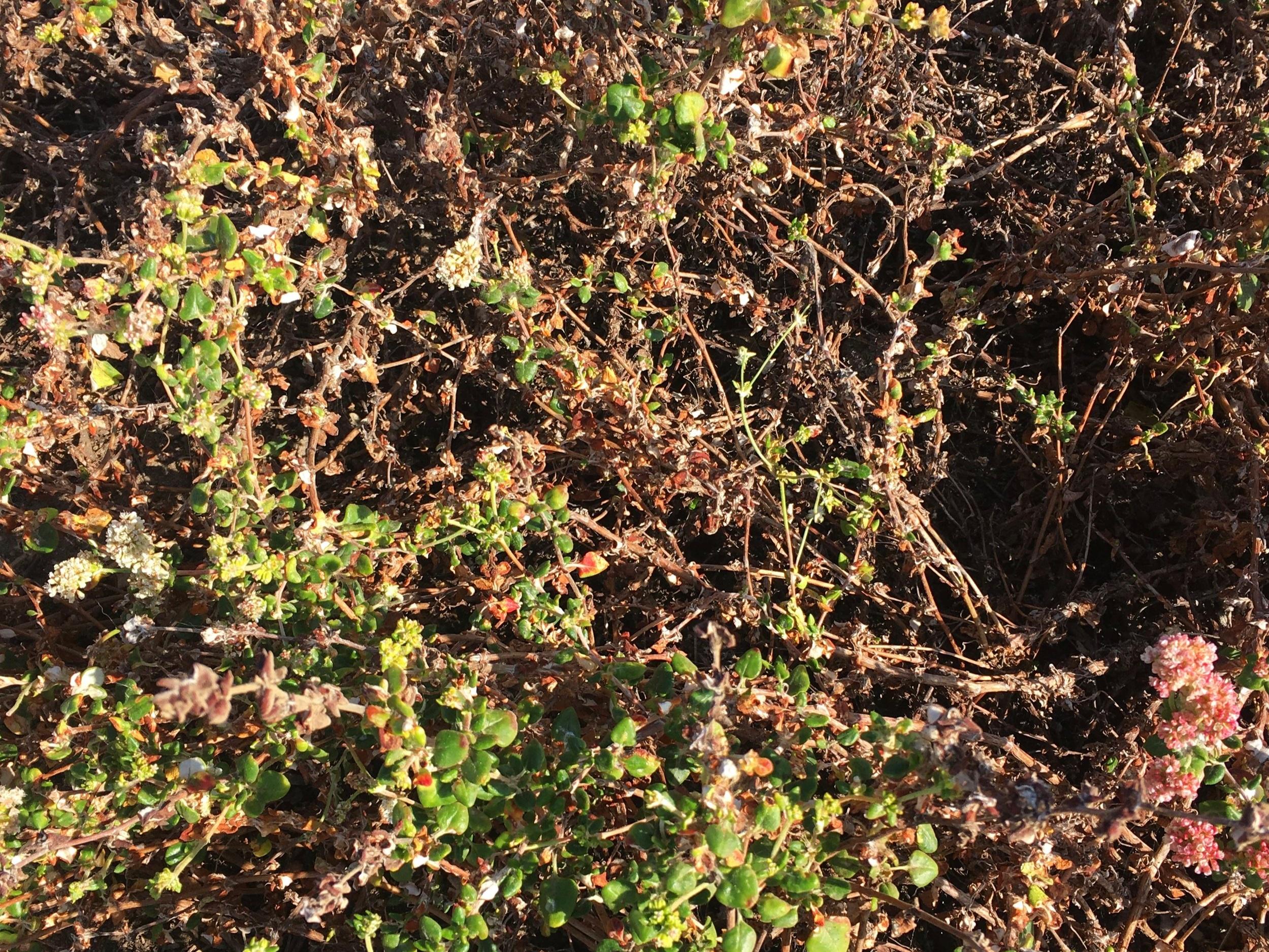 Eriogonum fasciculatum, California buckwheat in partial summer dormancy. Sunset Cliffs Natural Park, San Diego.