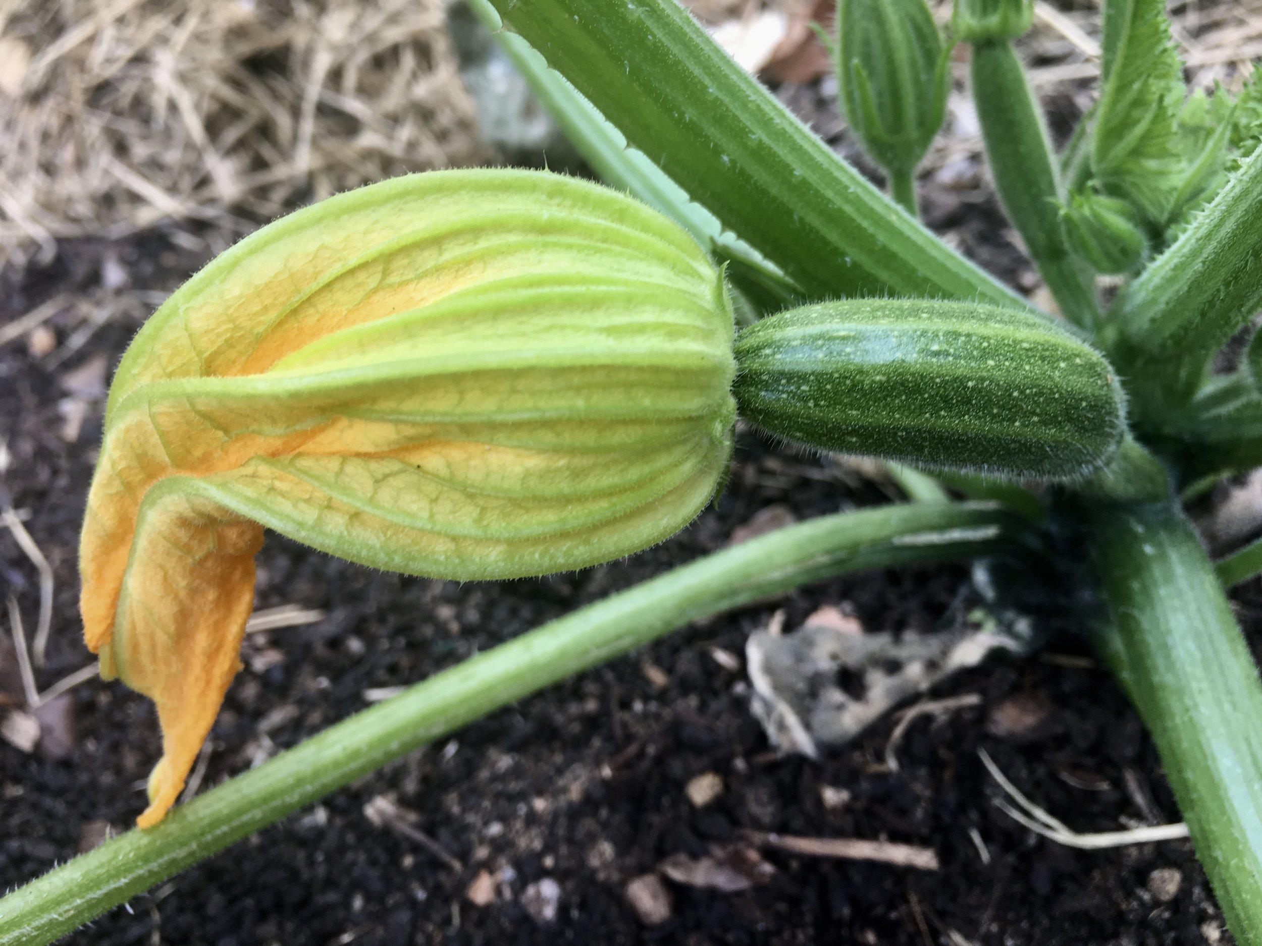 The first zucchini.